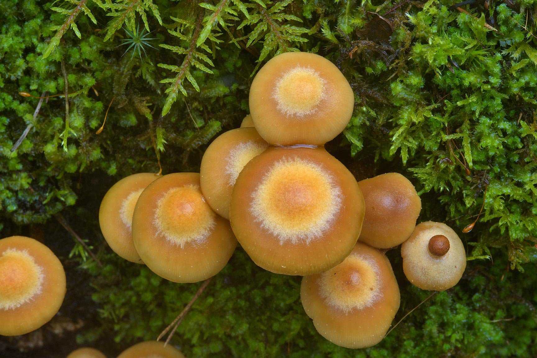 Sheathed woodtuft mushrooms (Kuehneromyces...Petersburg. Leningrad Region, Russia