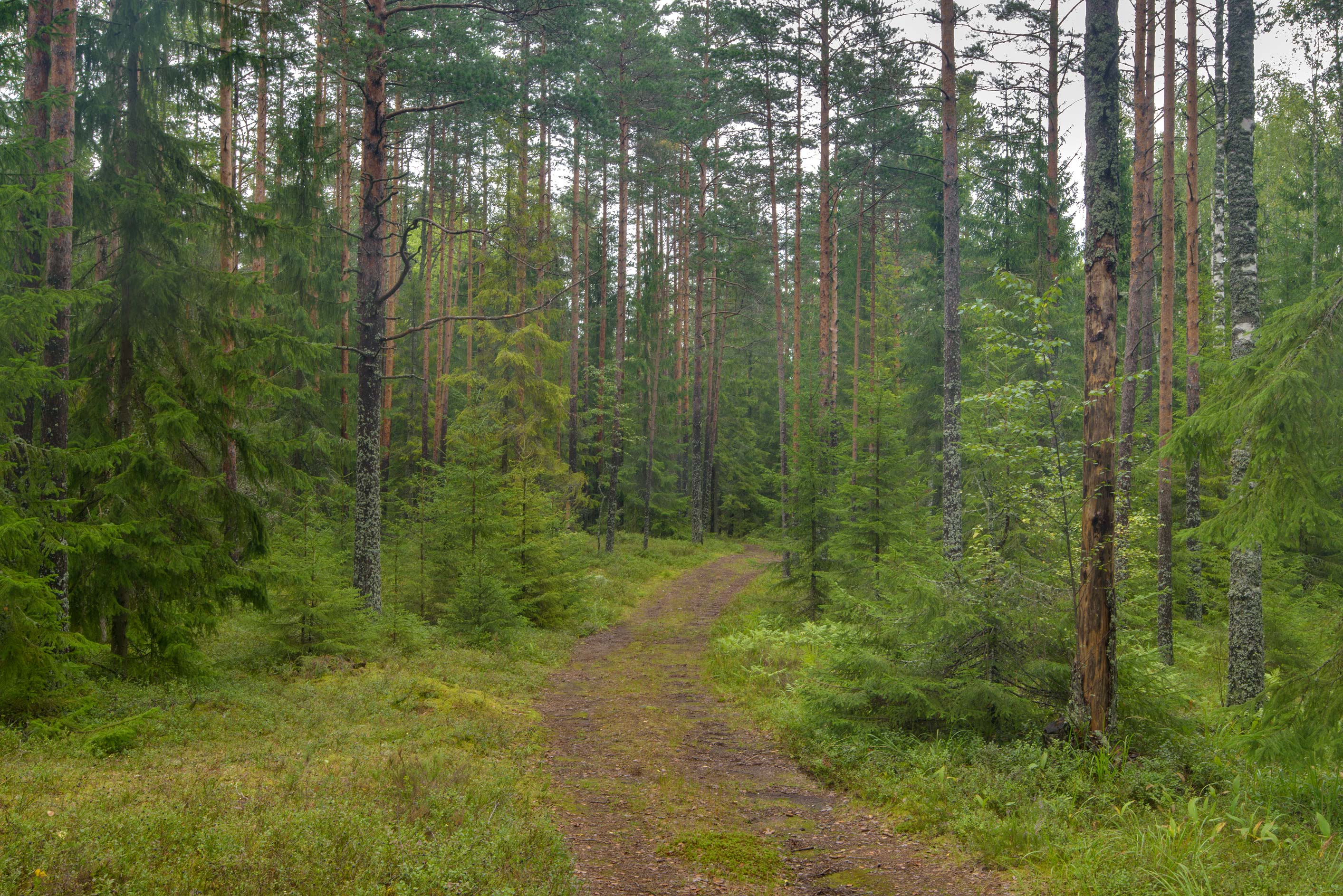 Forest road in Zakhodskoe, 50 miles north from St.Petersburg. Leningrad Region, Russia