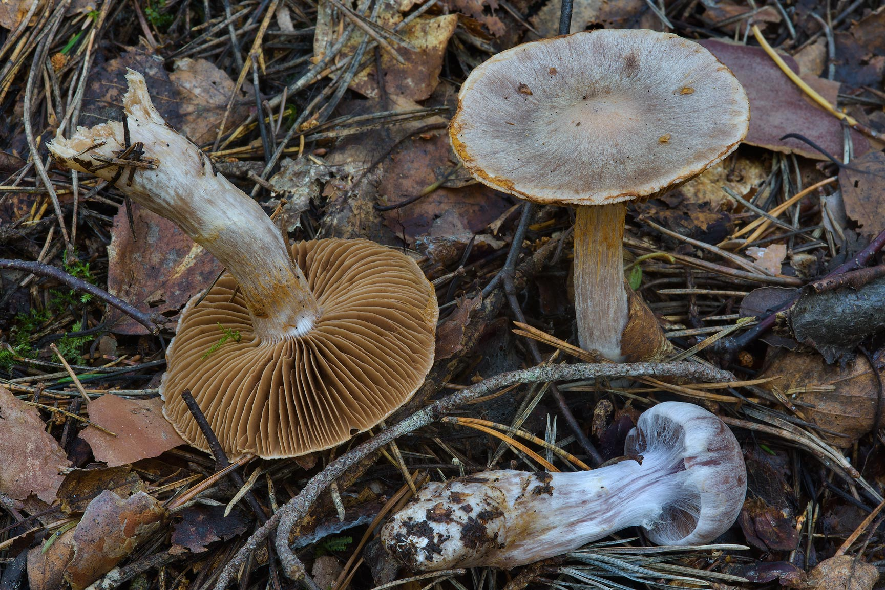 Some webcap mushrooms (Cortinarius sp.) in Dibuny, north-west from St.Petersburg, Russia