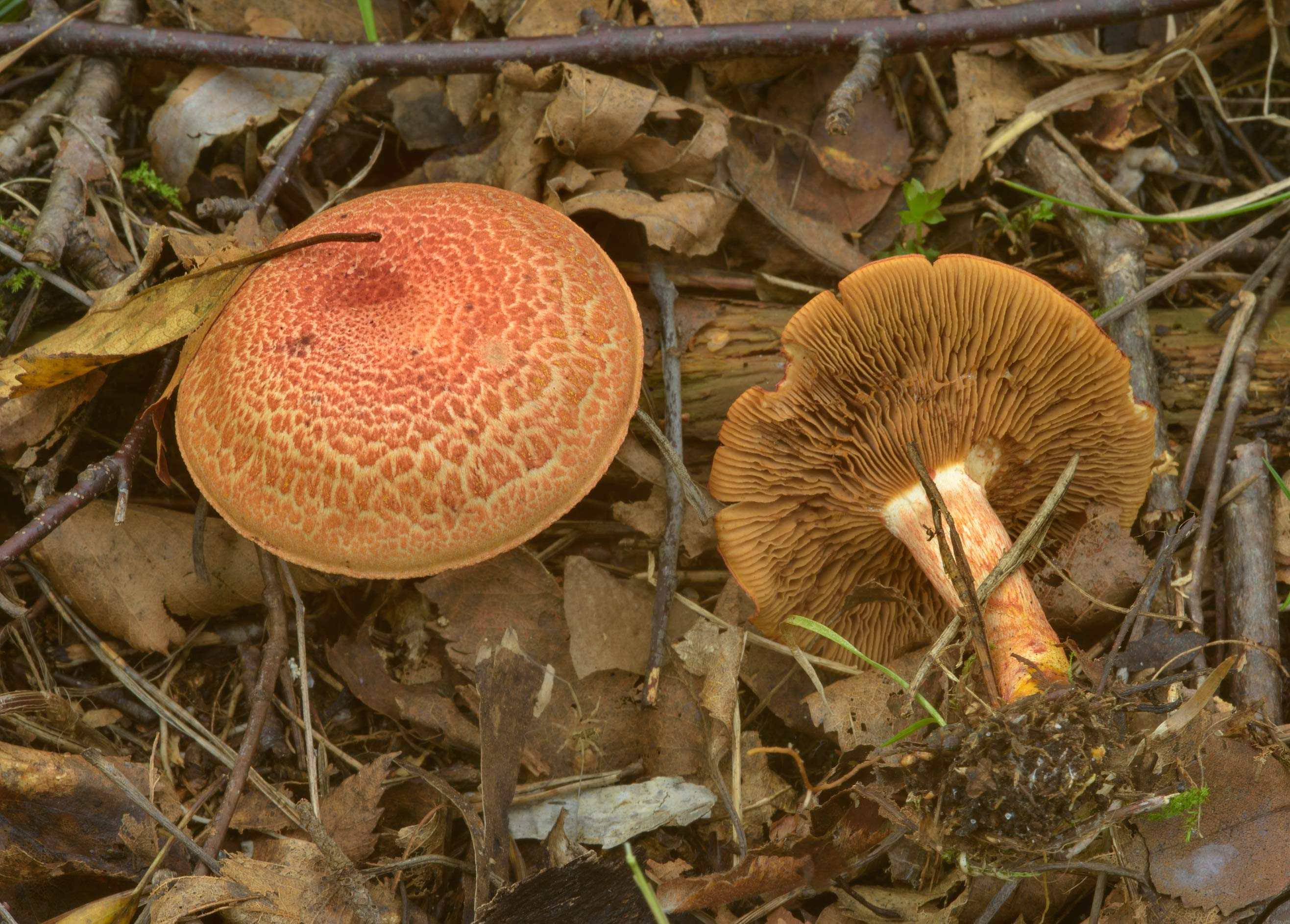 Dappled webcap mushrooms (Cortinarius bolaris) in...north-west from St.Petersburg, Russia