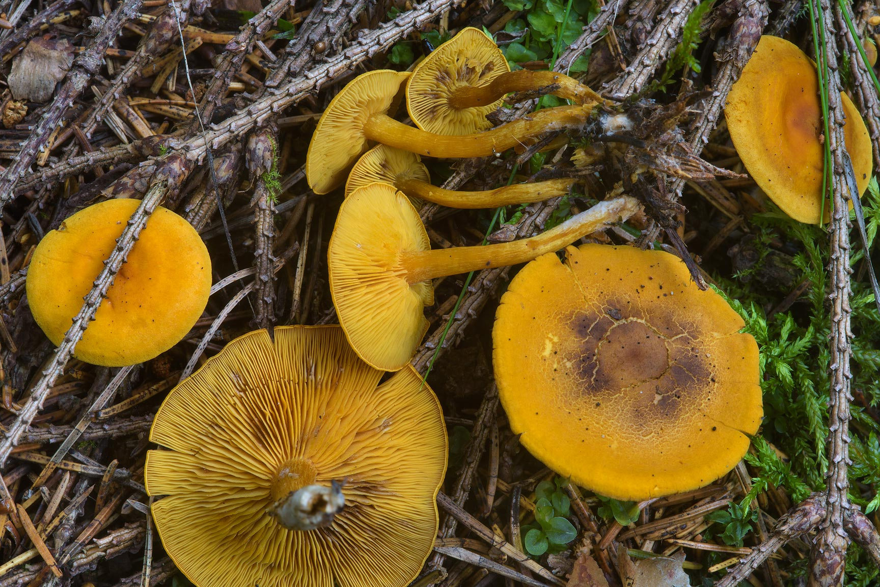 Some orange mushrooms (Gymnopilus sp.) in Dibuny, north-west from St.Petersburg, Russia