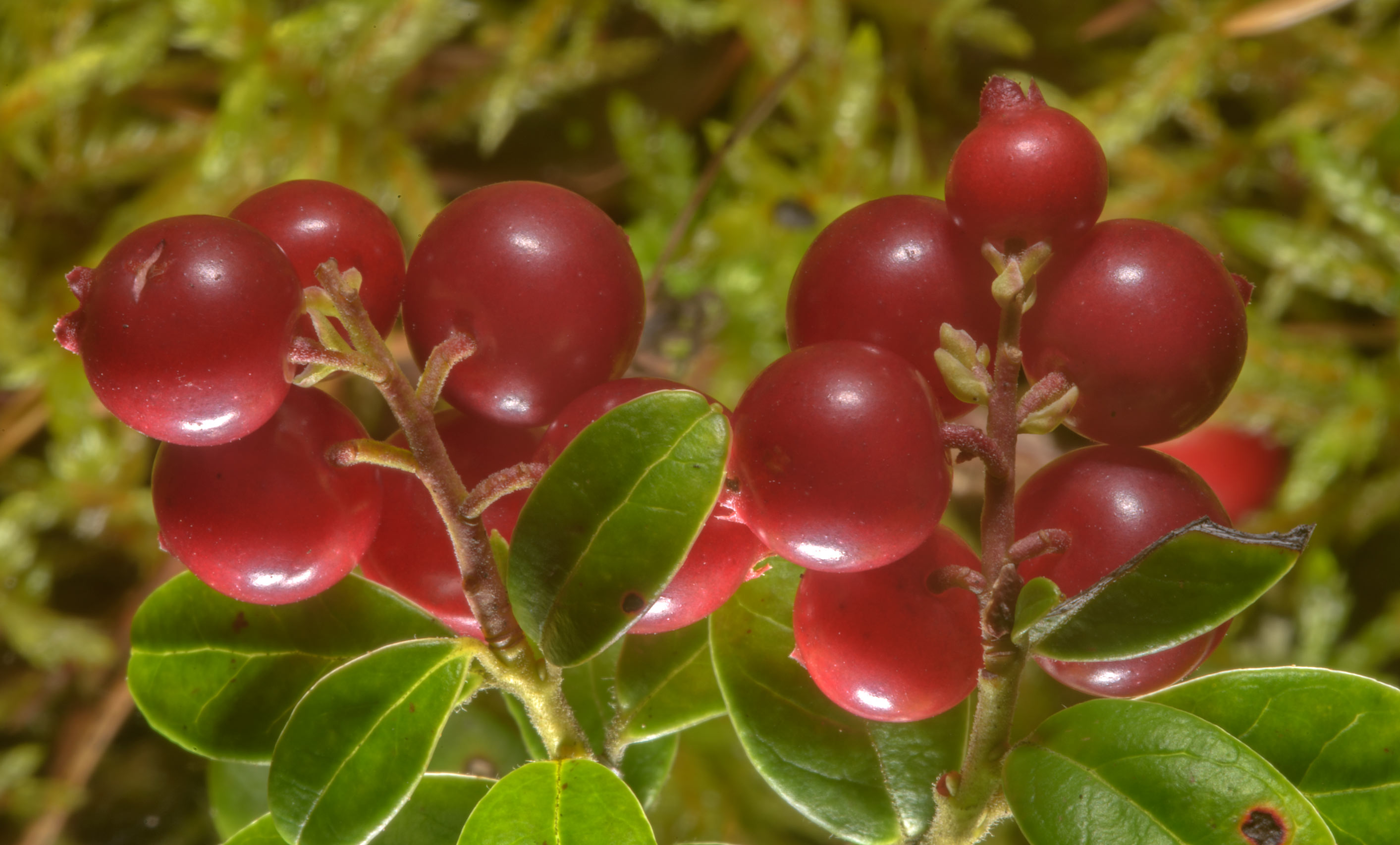 Fruits of cowberry (lingonberry, Vaccinium vitis...north from St.Petersburg. Russia