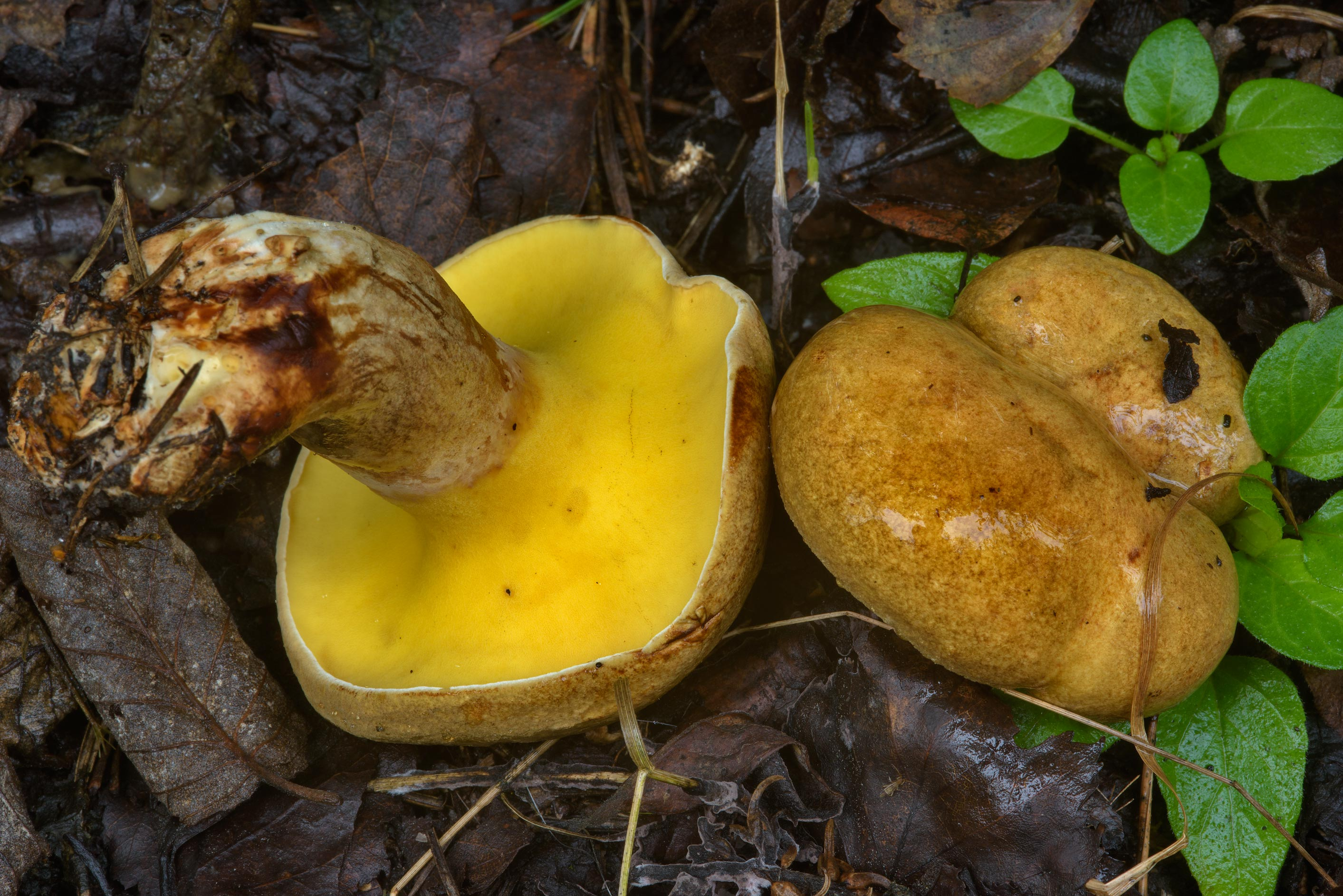 Alder bolete mushrooms (Gyrodon lividus, Russian...north from St.Petersburg. Russia