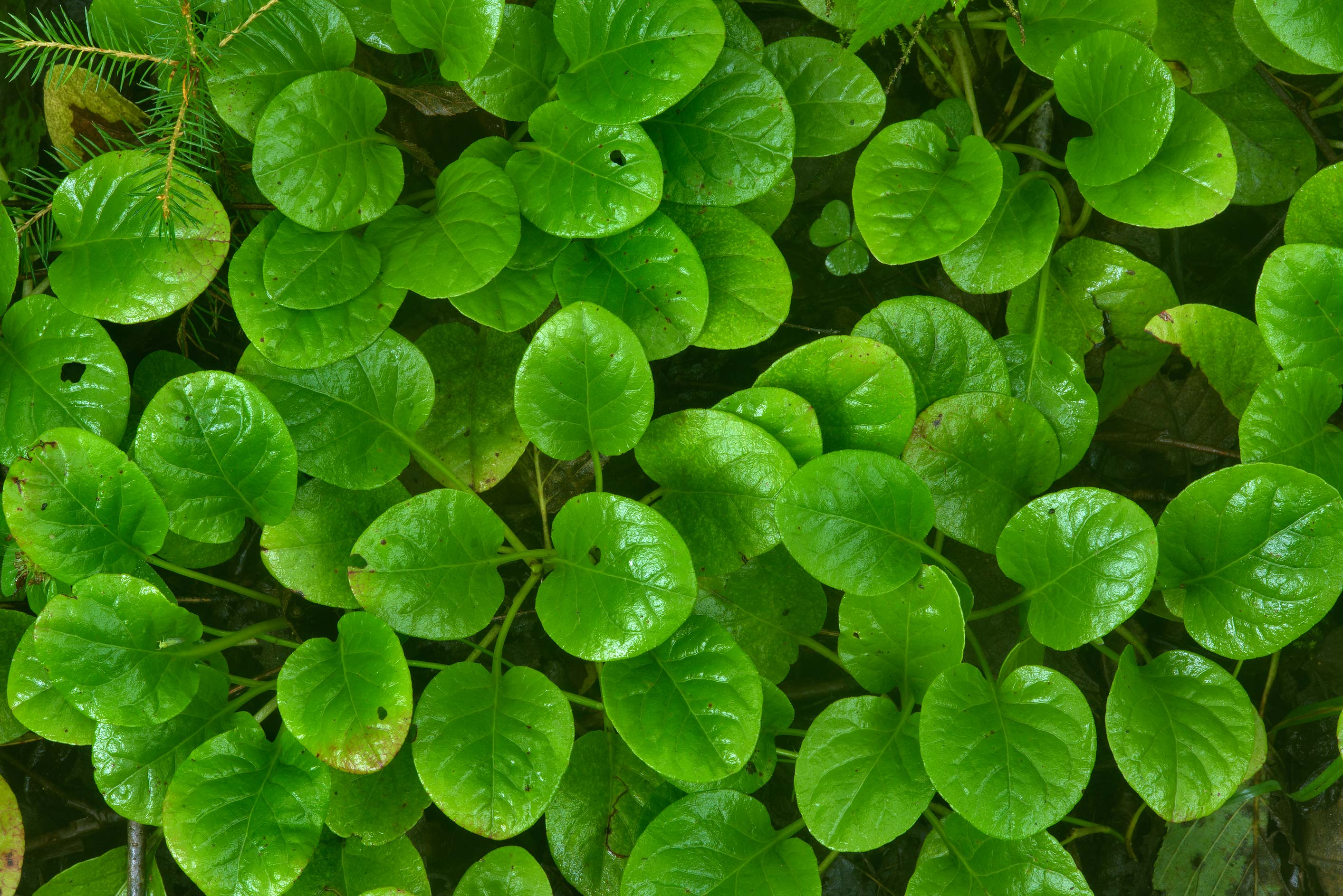 Leaves of shinleaf (Round-leaved Wintergreen...north from St.Petersburg. Russia