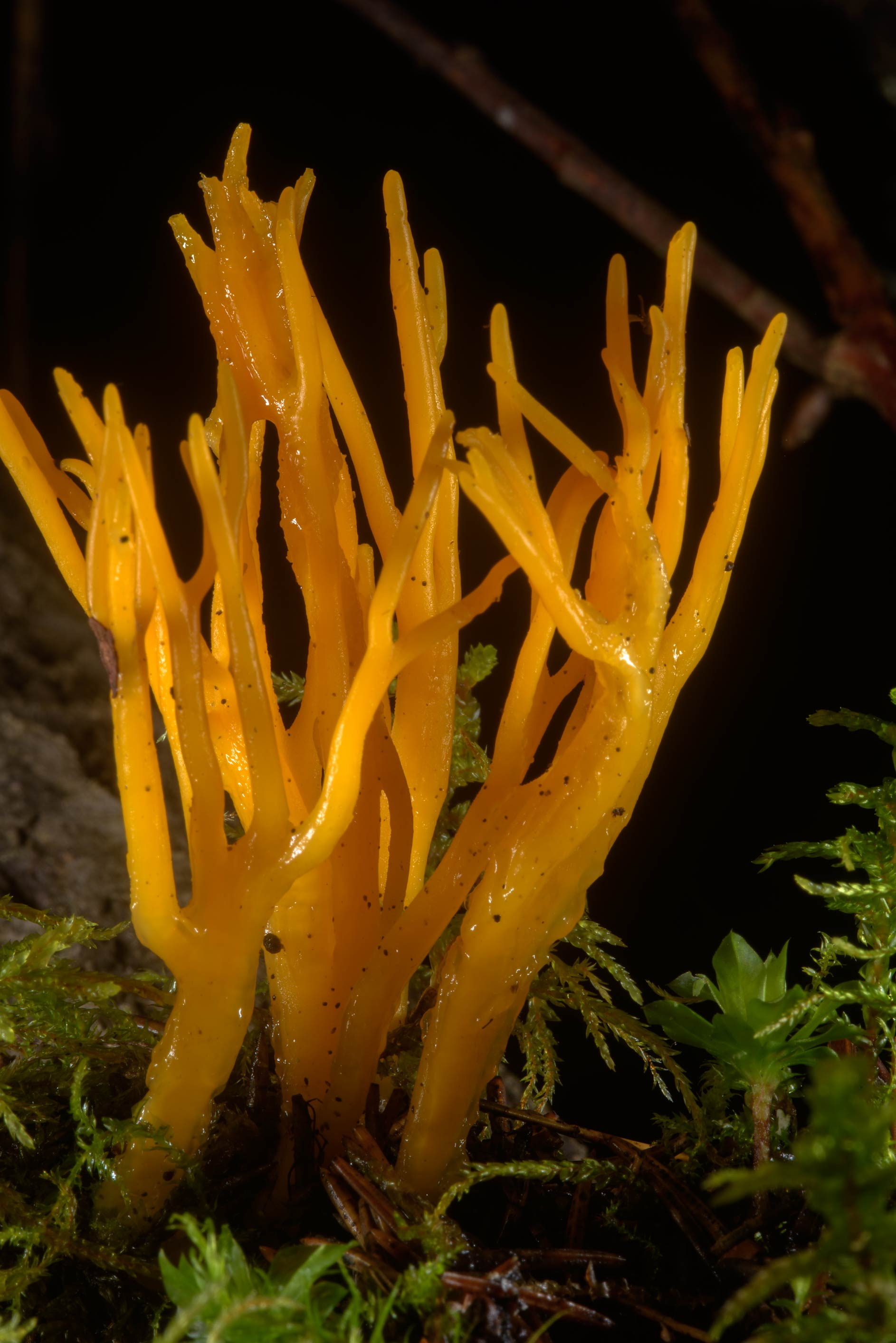 Yellow stagshorn mushrooms (Calocera viscosa...north from St.Petersburg. Russia