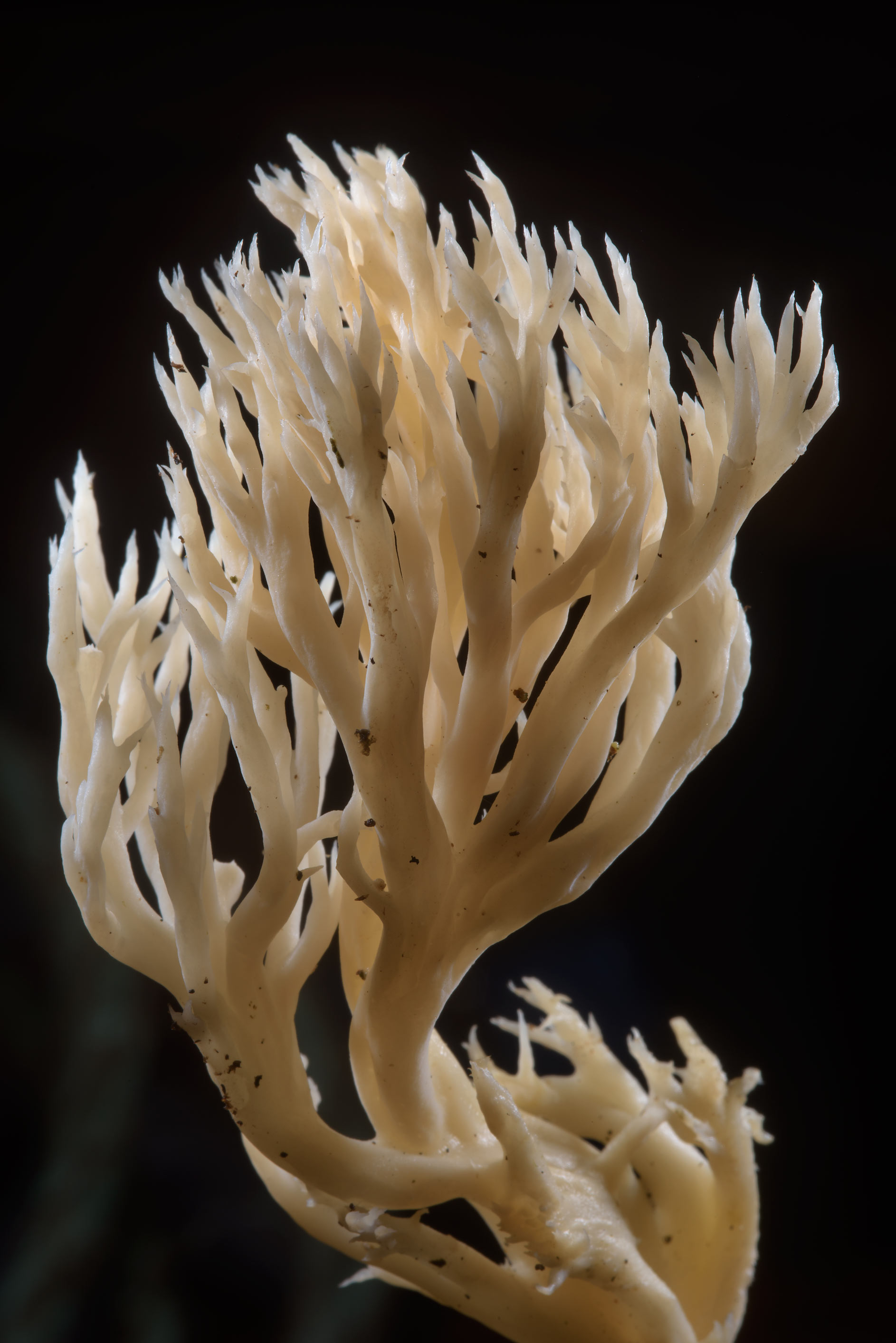 Crested coral fungus (white coral mushrooms...suburb of St.Petersburg. Russia