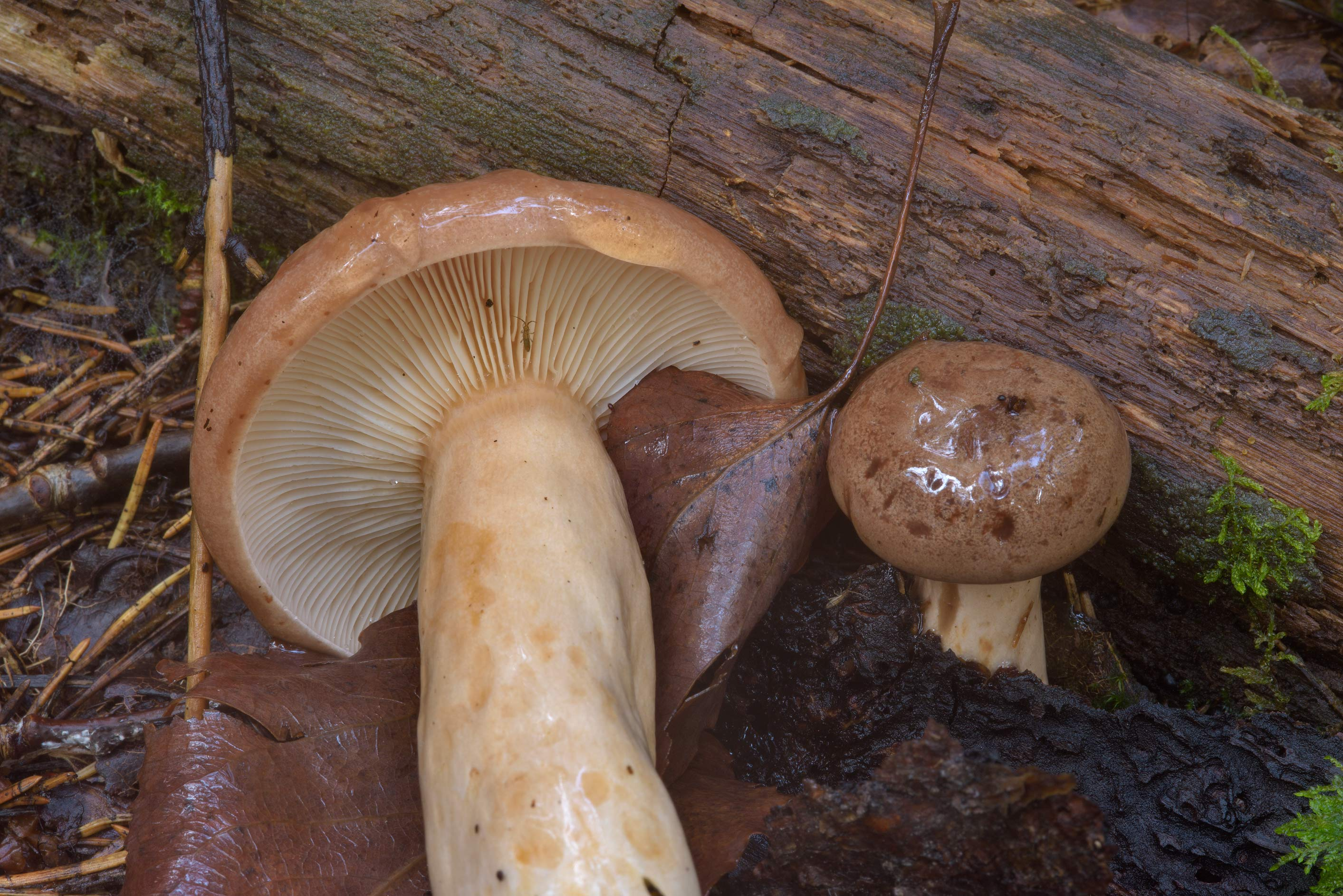 Northern milk-cap mushrooms (Lactarius trivialis...north-west from St.Petersburg, Russia
