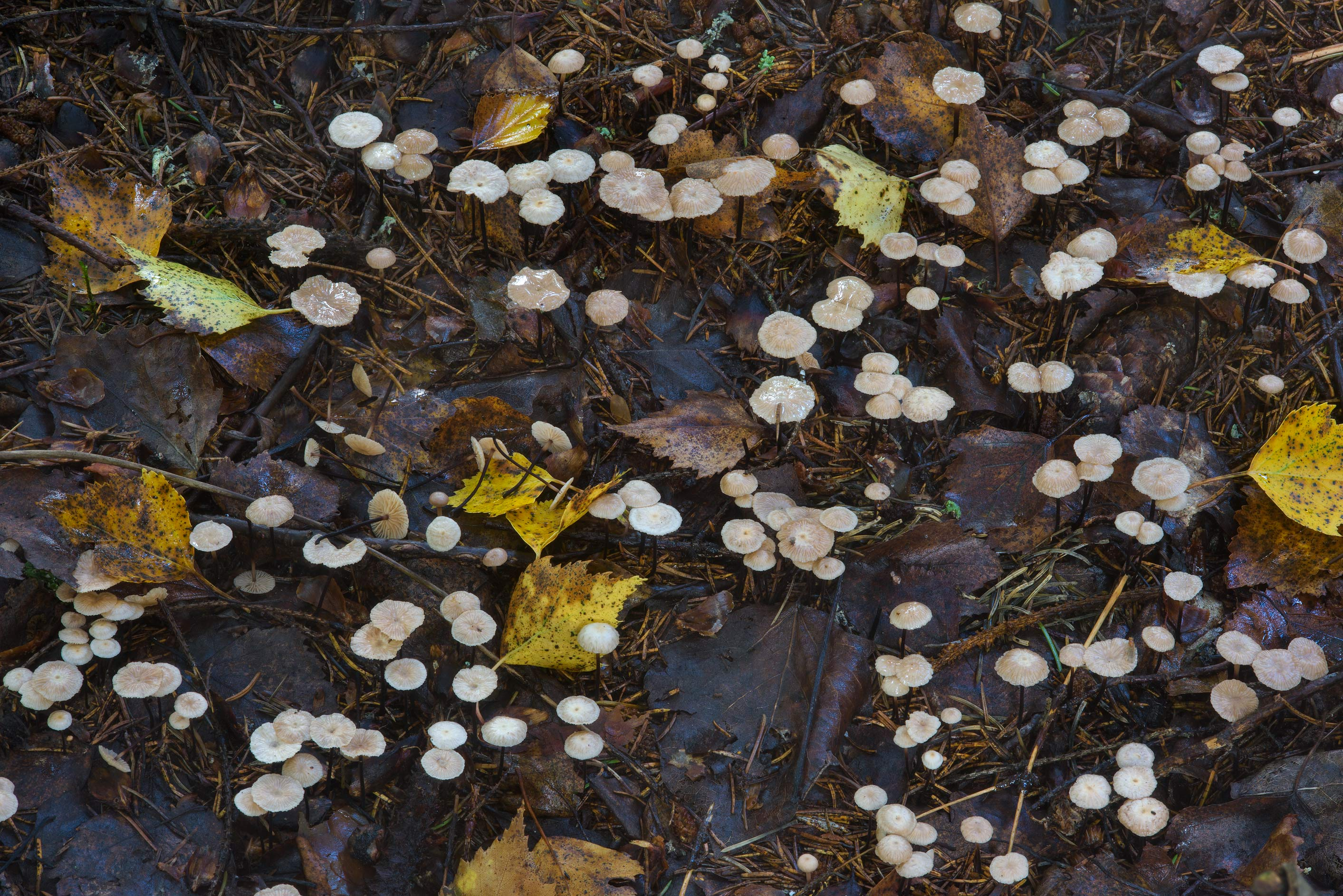 Carpet of small mushrooms Gymnopus perforans...north-west from St.Petersburg, Russia