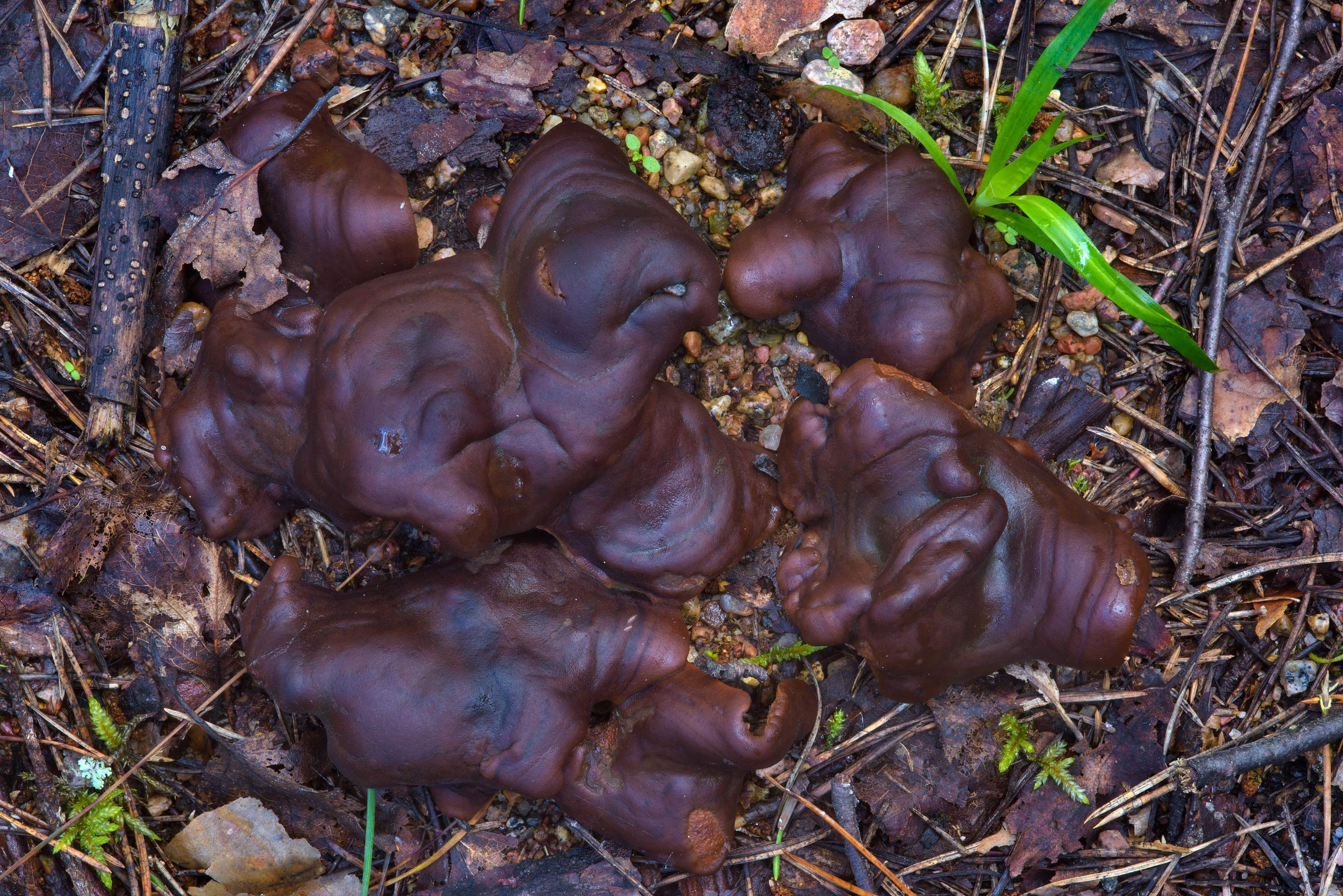 Crustlike cups of doughnut fungus (pine...north-west from St.Petersburg, Russia