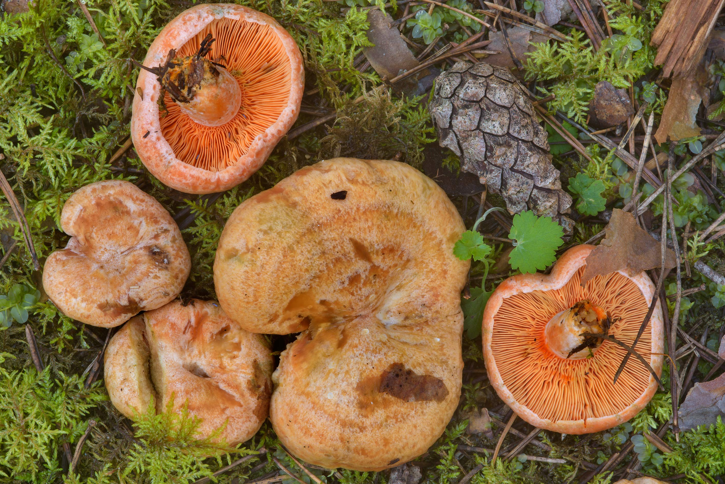 Milkcap mushrooms (Lactarius deterrimus, Russian...north-west from St.Petersburg, Russia
