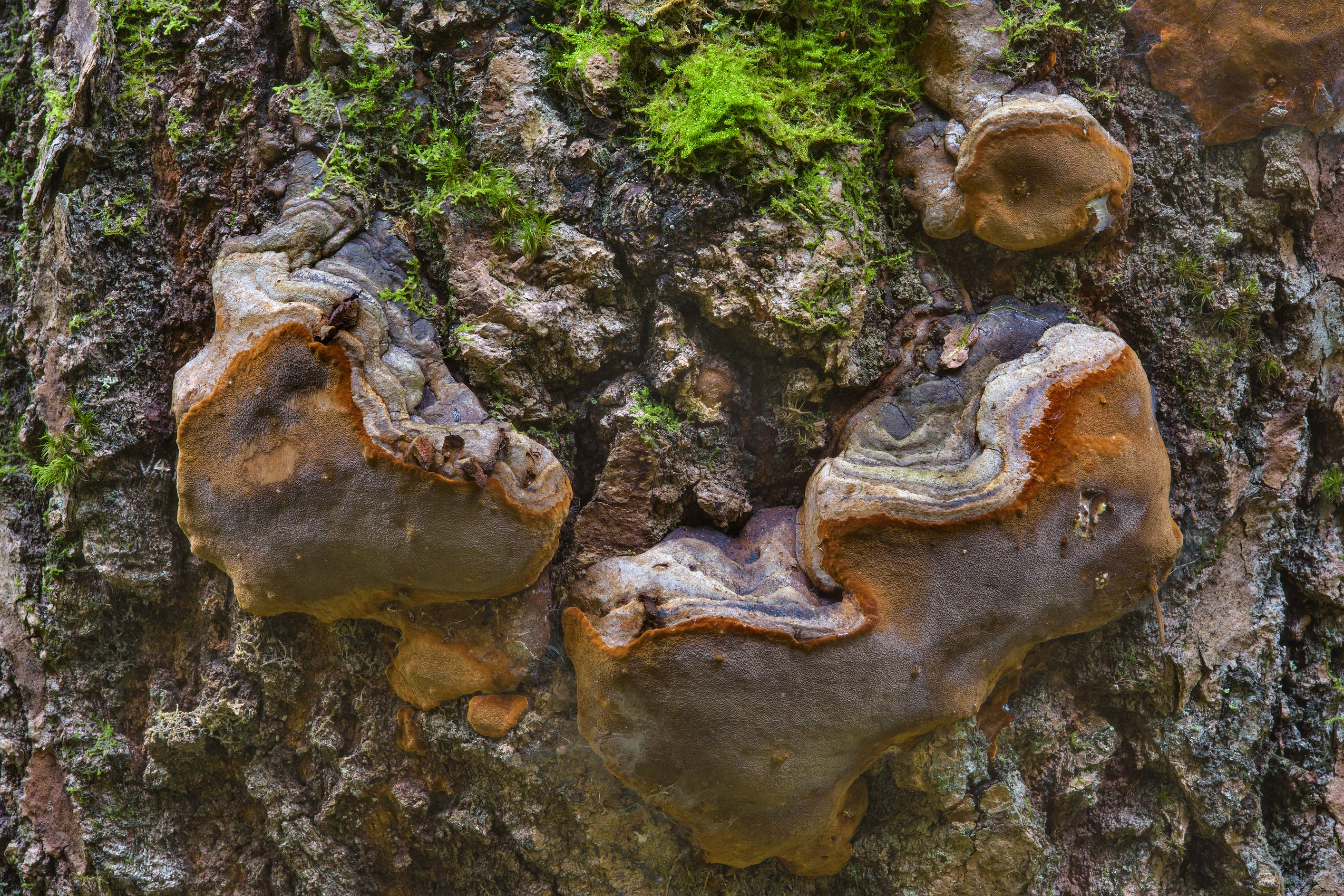 False Tinder Conk mushroom (Phellinus tremulae, a...south from St.Petersburg, Russia