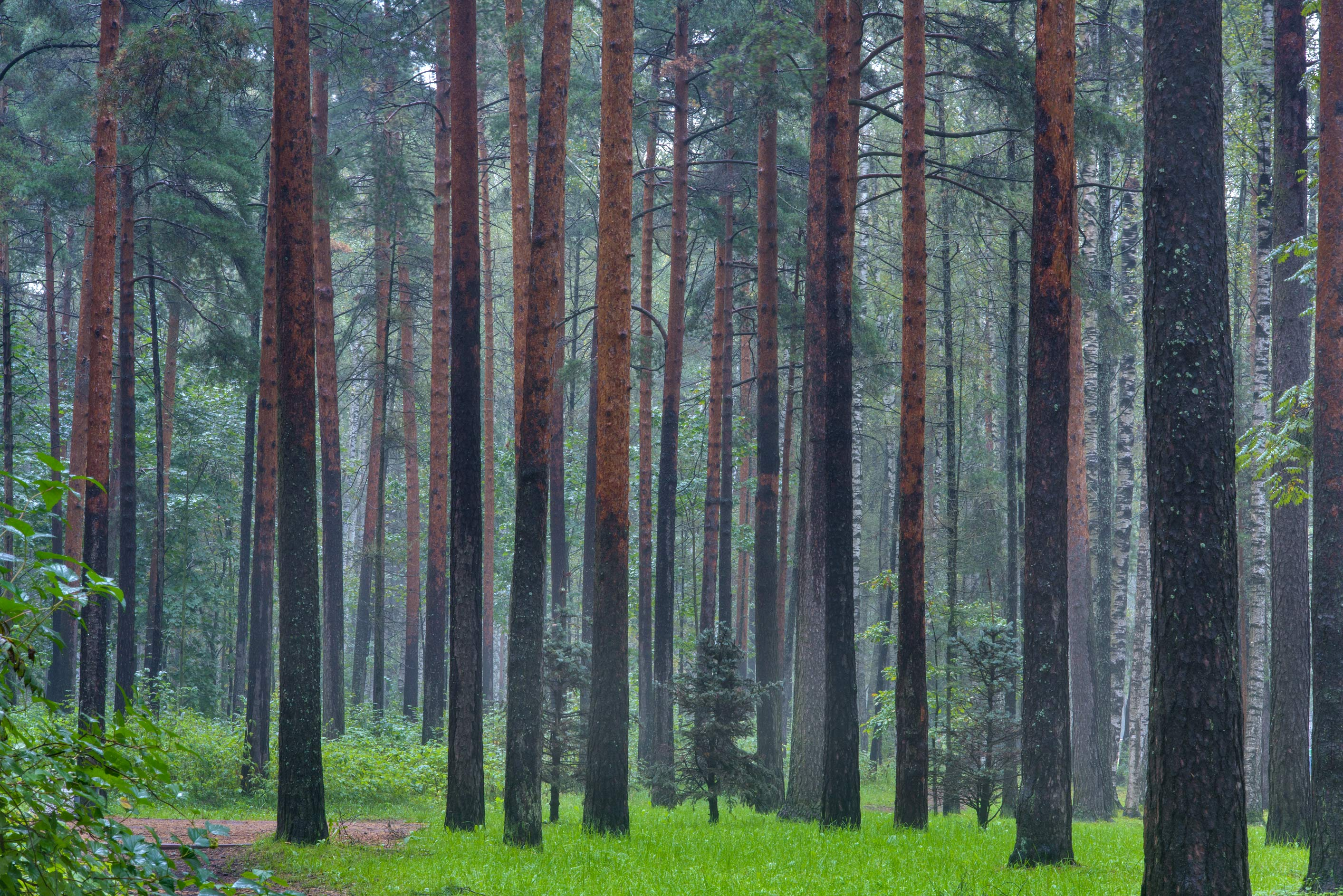 Mature pine forest in Sosnovka Park. St.Petersburg, Russia
