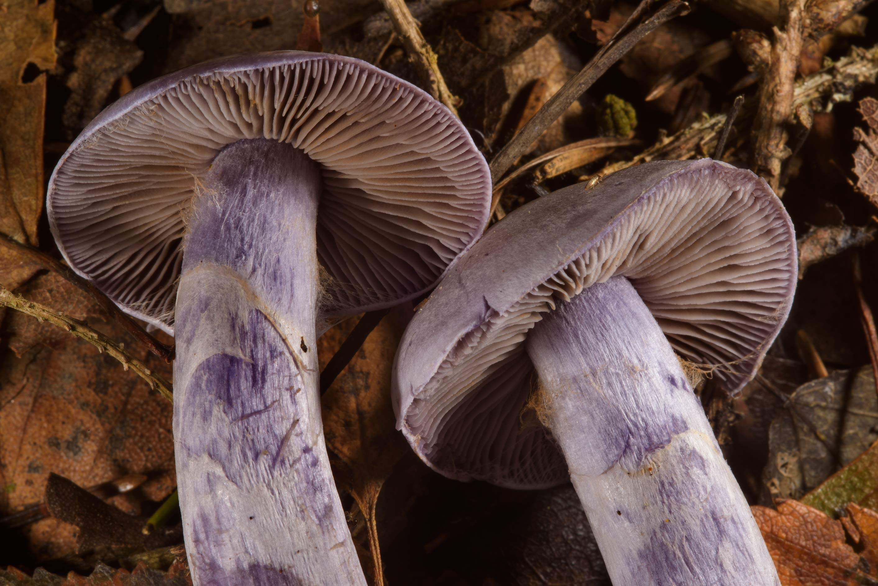 Some violet webcap mushrooms, may be Cortinarius...miles north from St.Petersburg. Russia