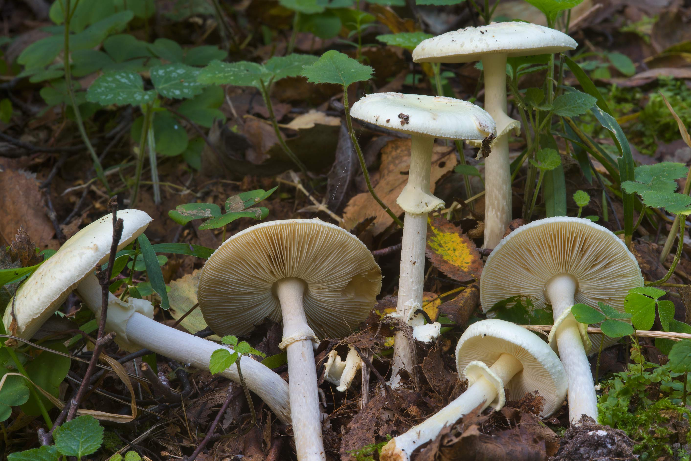 False death cap mushrooms (Amanita citrina) near...Nos, south from St.Petersburg. Russia