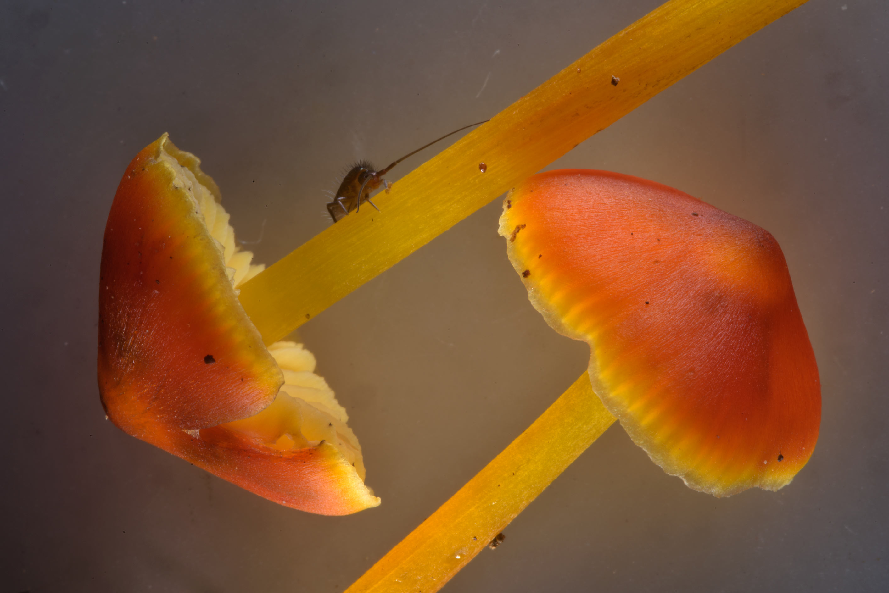 Close up of some orange waxcap mushrooms, may be...Nos, south from St.Petersburg. Russia
