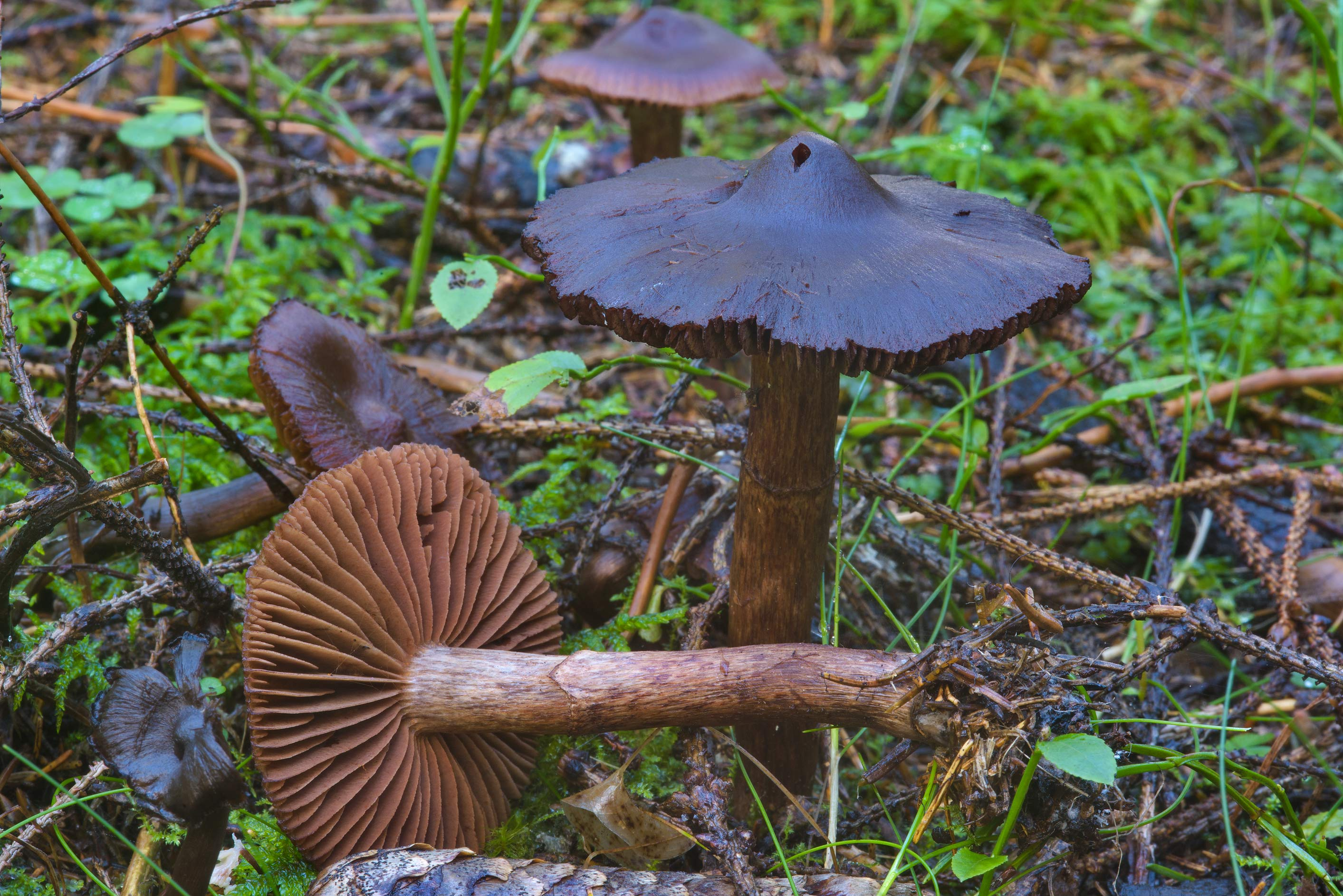 Dark webcap mushrooms Cortinarius anthracinus...Lake, north from St.Petersburg. Russia