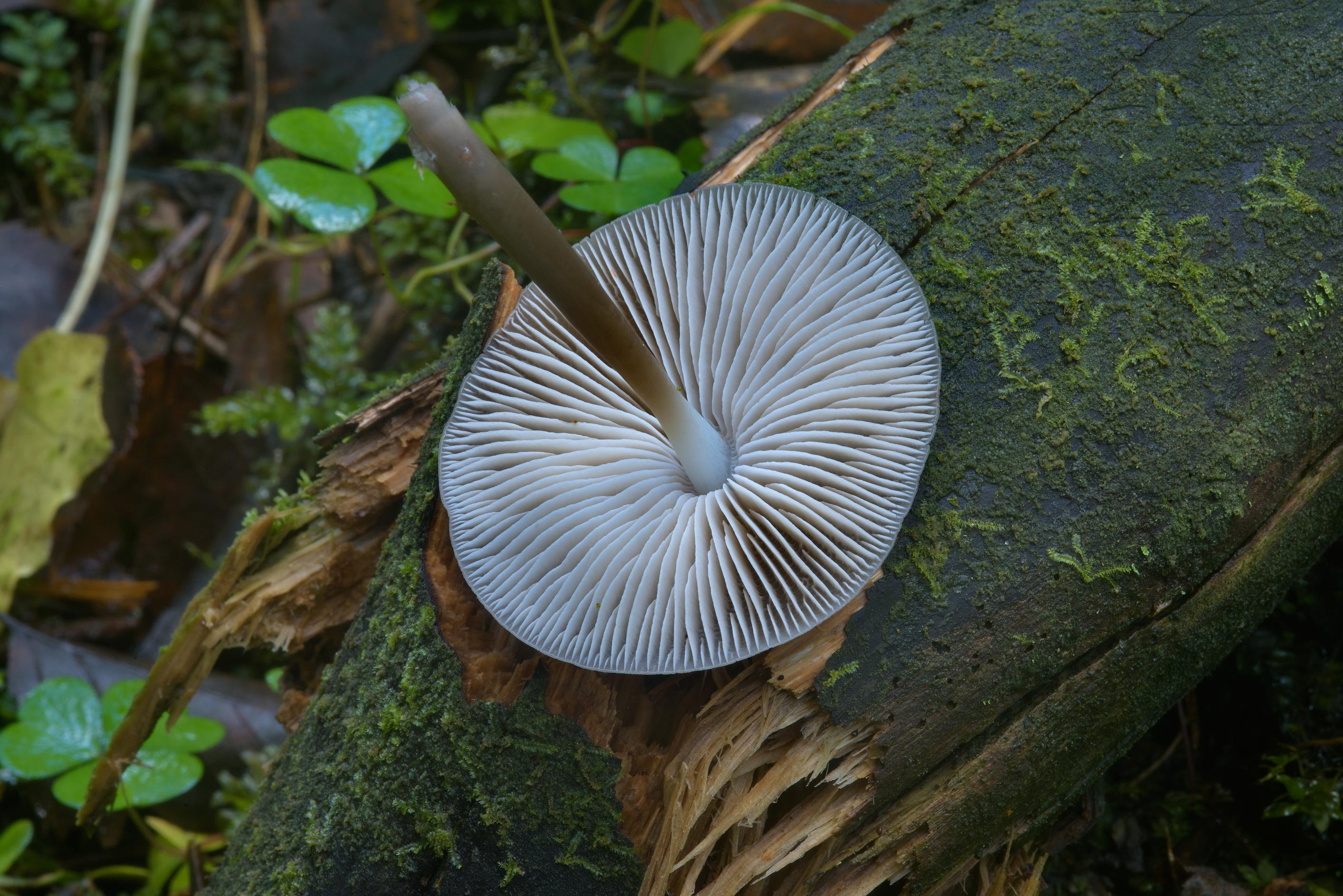 Gills of common bonnet mushrooms (Mycena...Lake, north from St.Petersburg. Russia