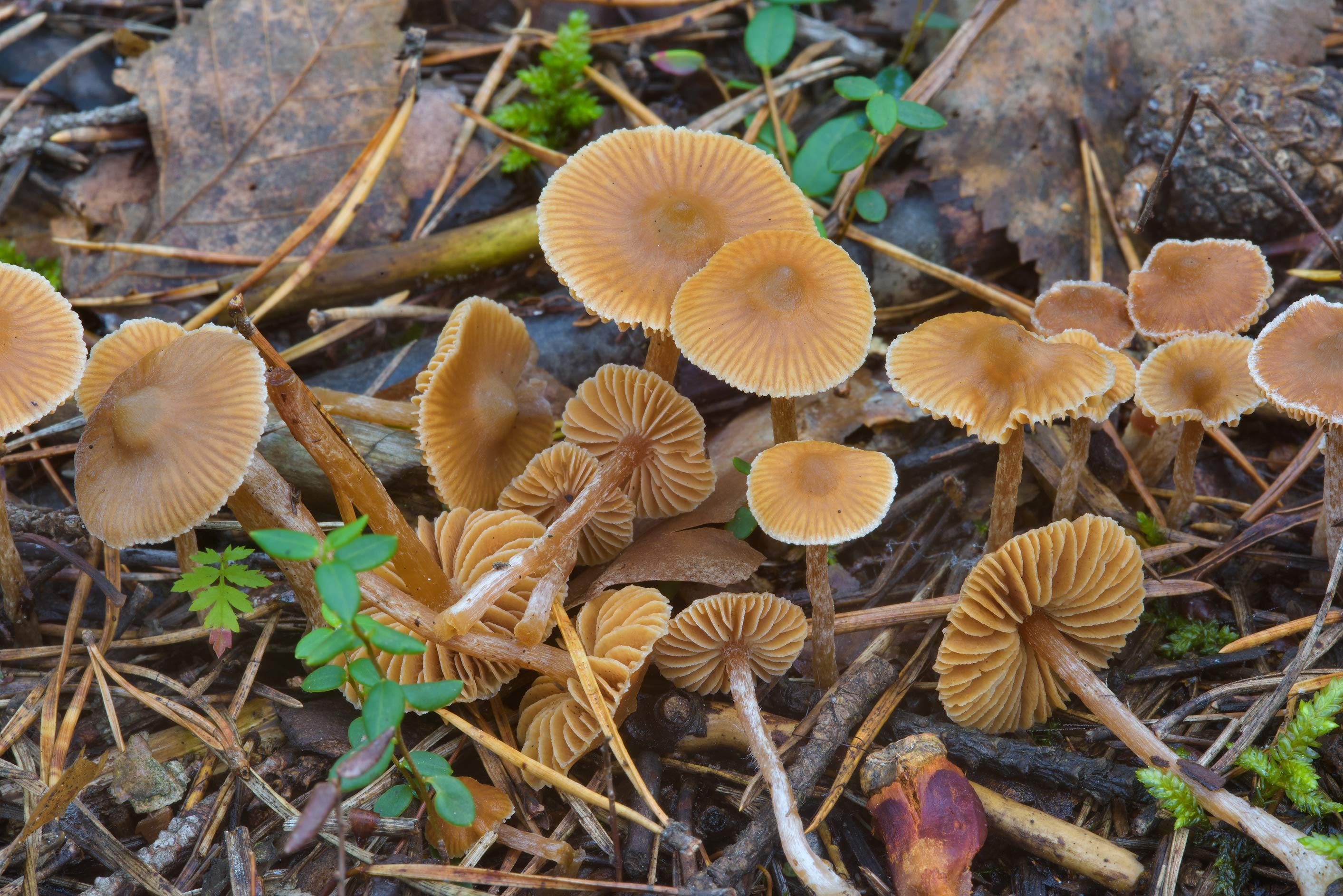 Striate aldercap mushrooms (Naucoria striatula...Sosnovka Park. St.Petersburg, Russia