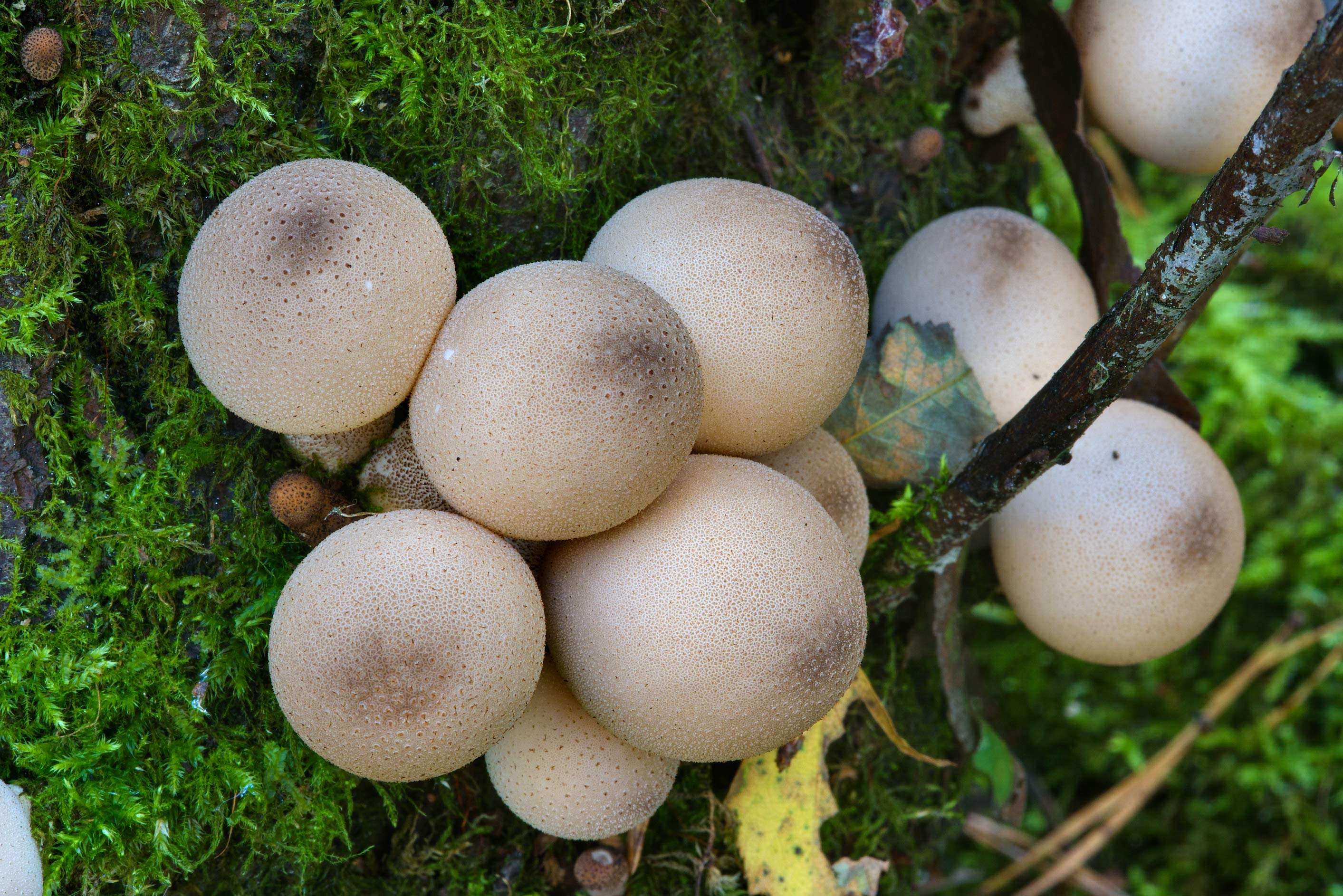 Pear-shaped puffball mushrooms (Lycoperdon...in northern St.Petersburg. Russia