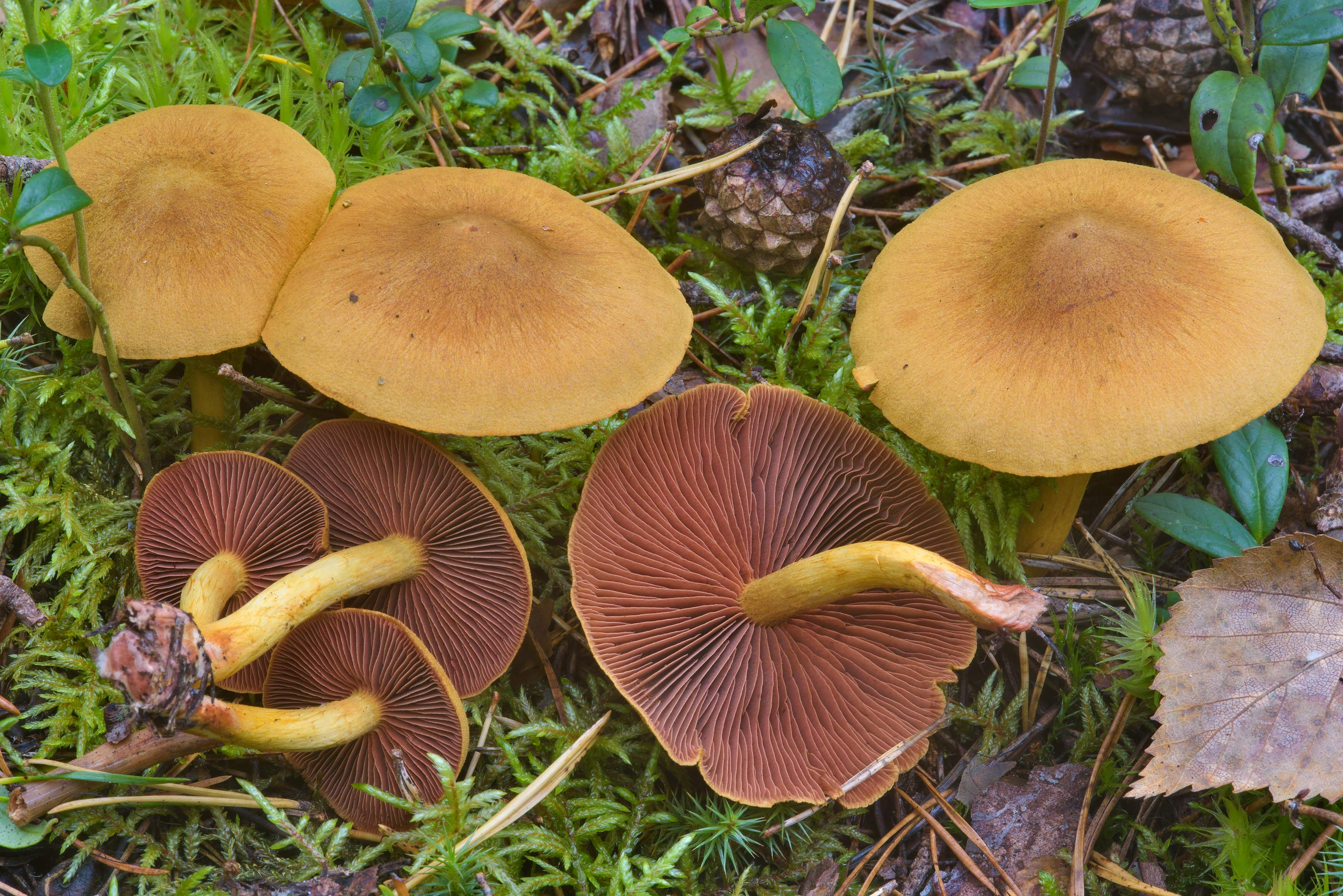 Surprise webcap mushrooms (Cortinarius...miles north from St.Petersburg. Russia