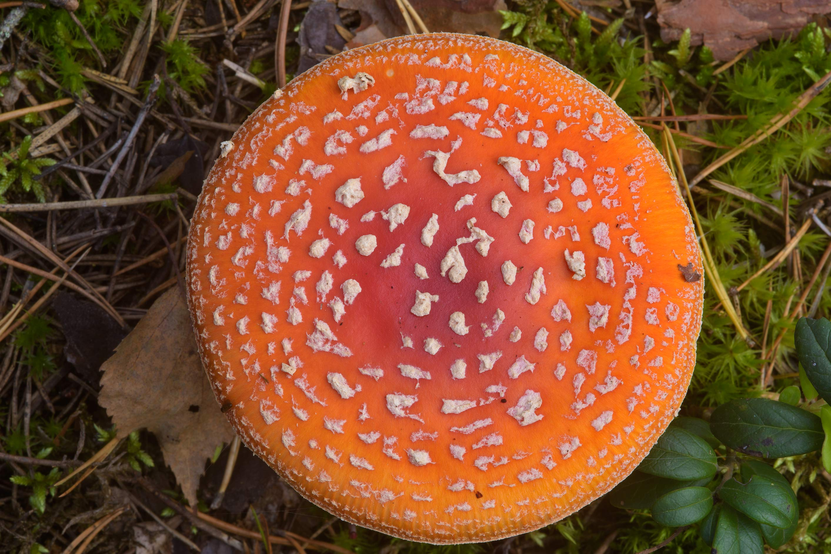 Fly agaric mushroom (Amanita muscaria) near...miles north from St.Petersburg. Russia