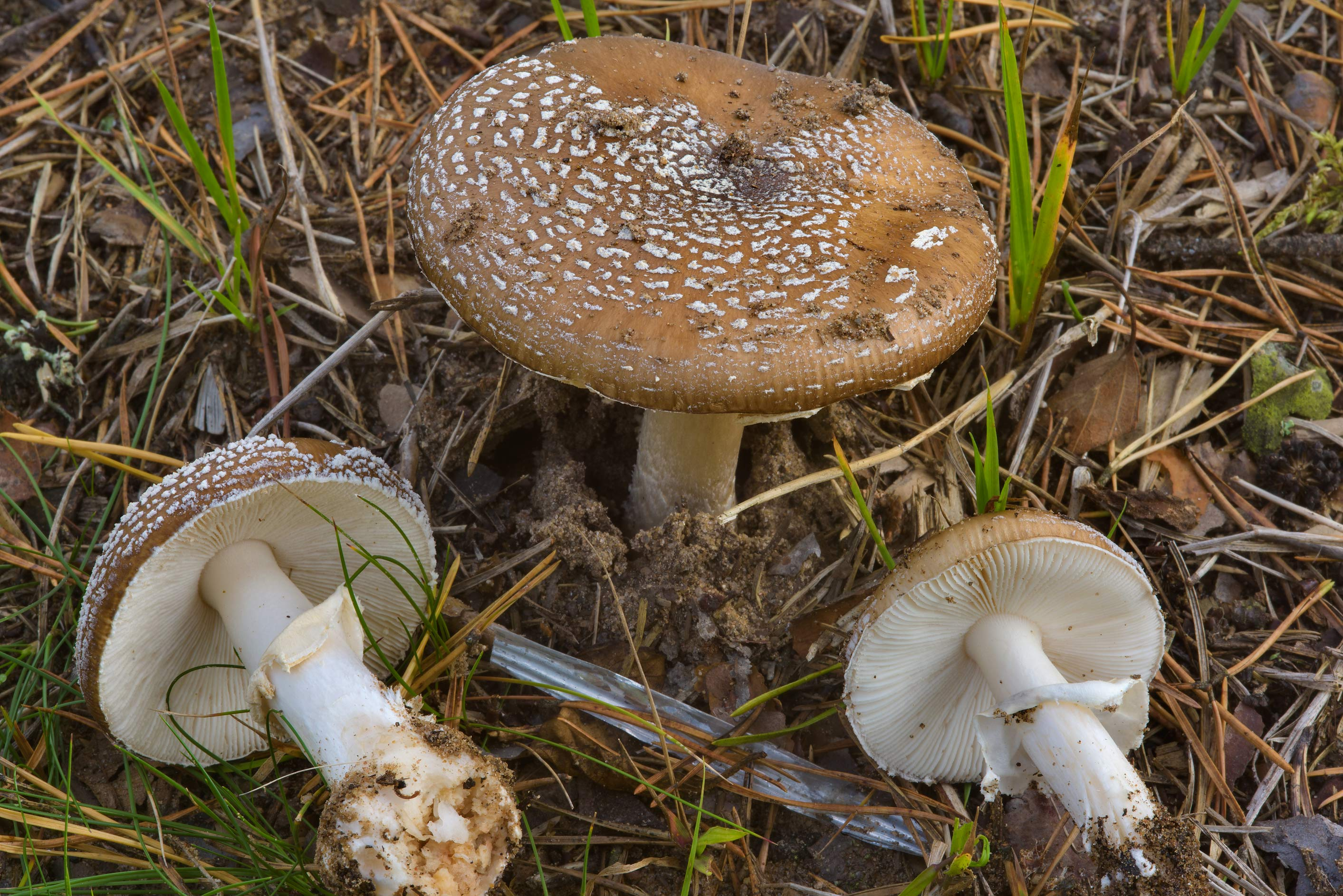 Panther cap mushrooms (Amanita pantherina) near...miles north from St.Petersburg. Russia