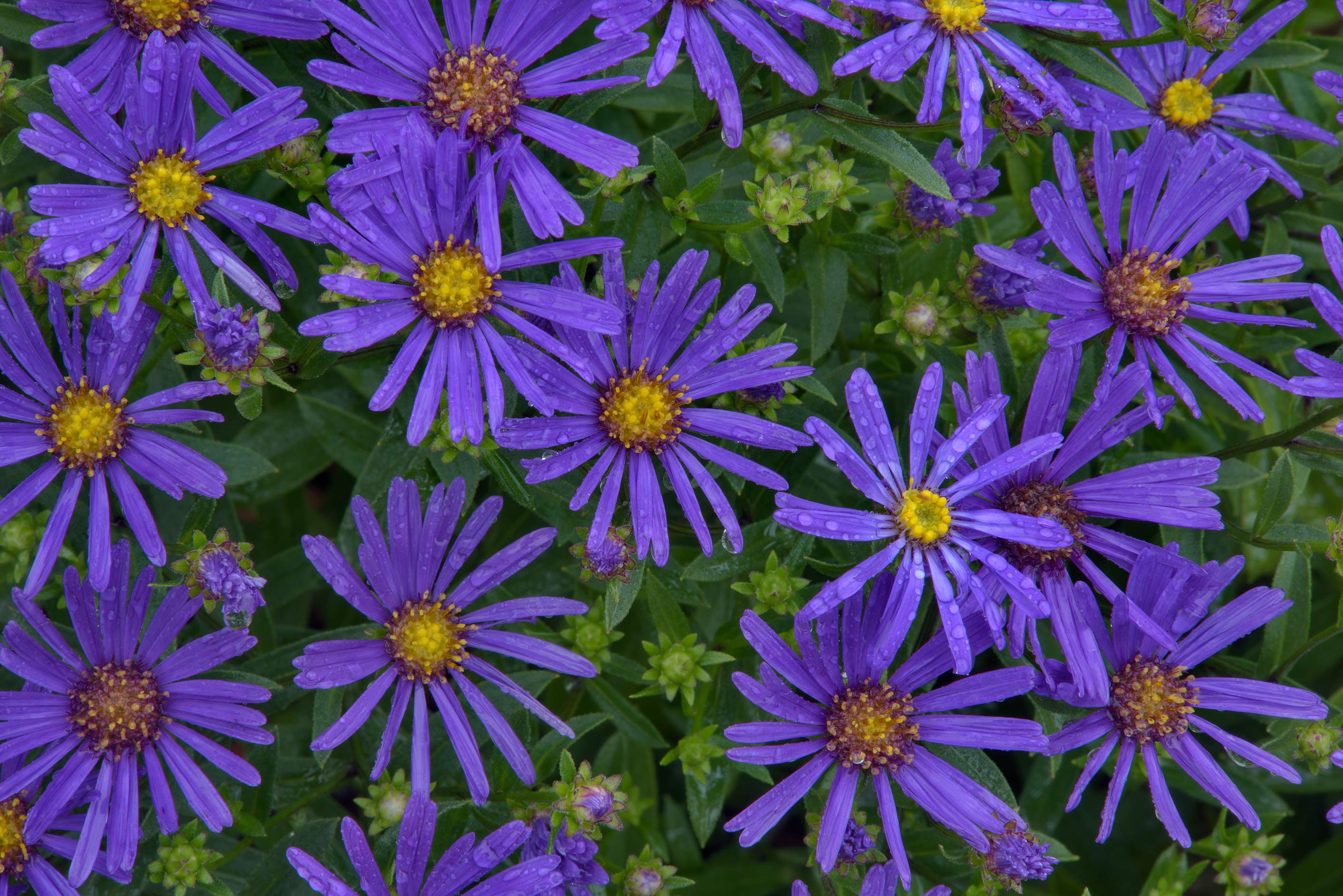 Photo 1903 06 blue flowers of michaelmas daisy aster amellus x large image izmirmasajfo Image collections