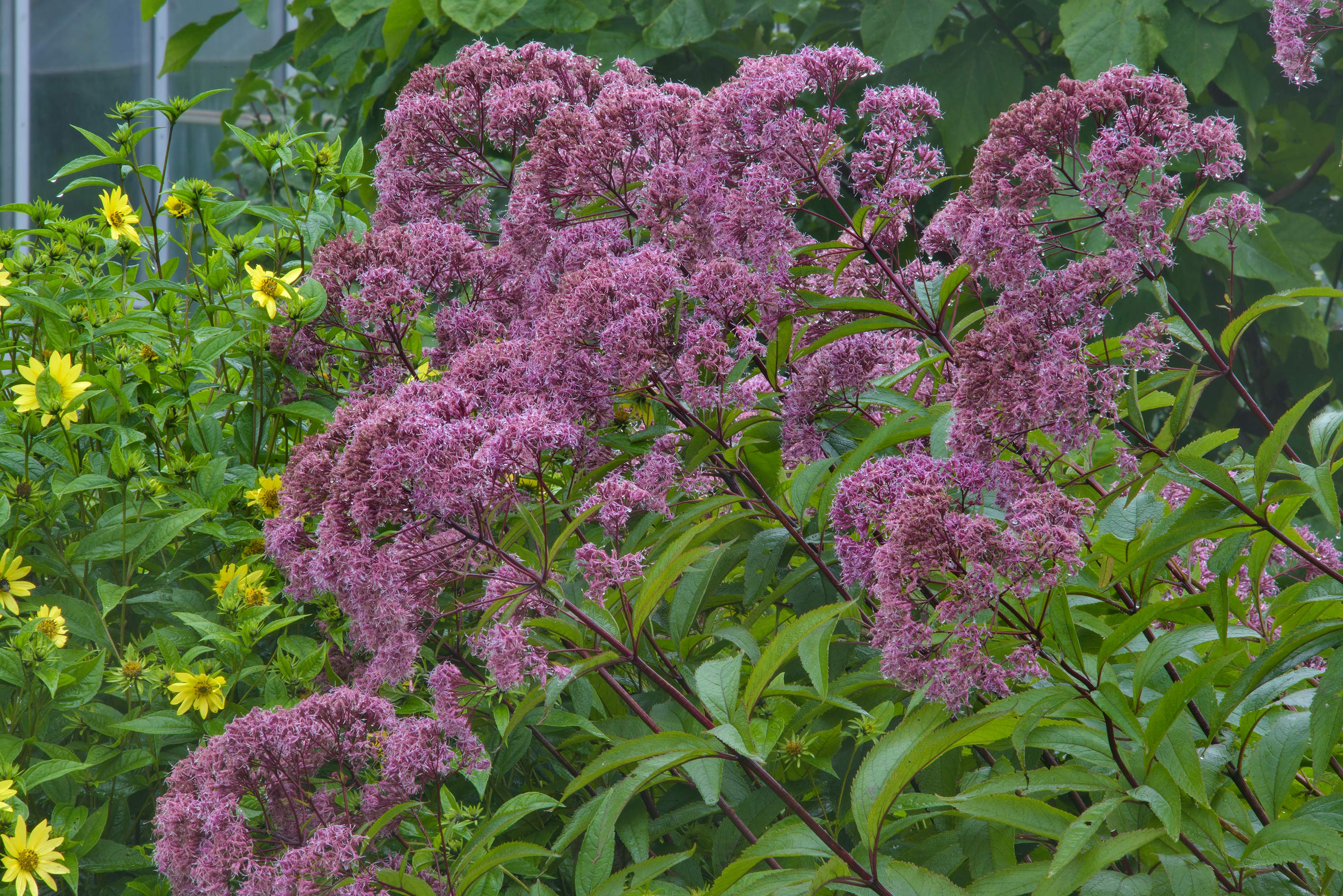 Joe-Pye weed (trumpetweed, Eupatorium maculatum...Institute. St.Petersburg, Russia