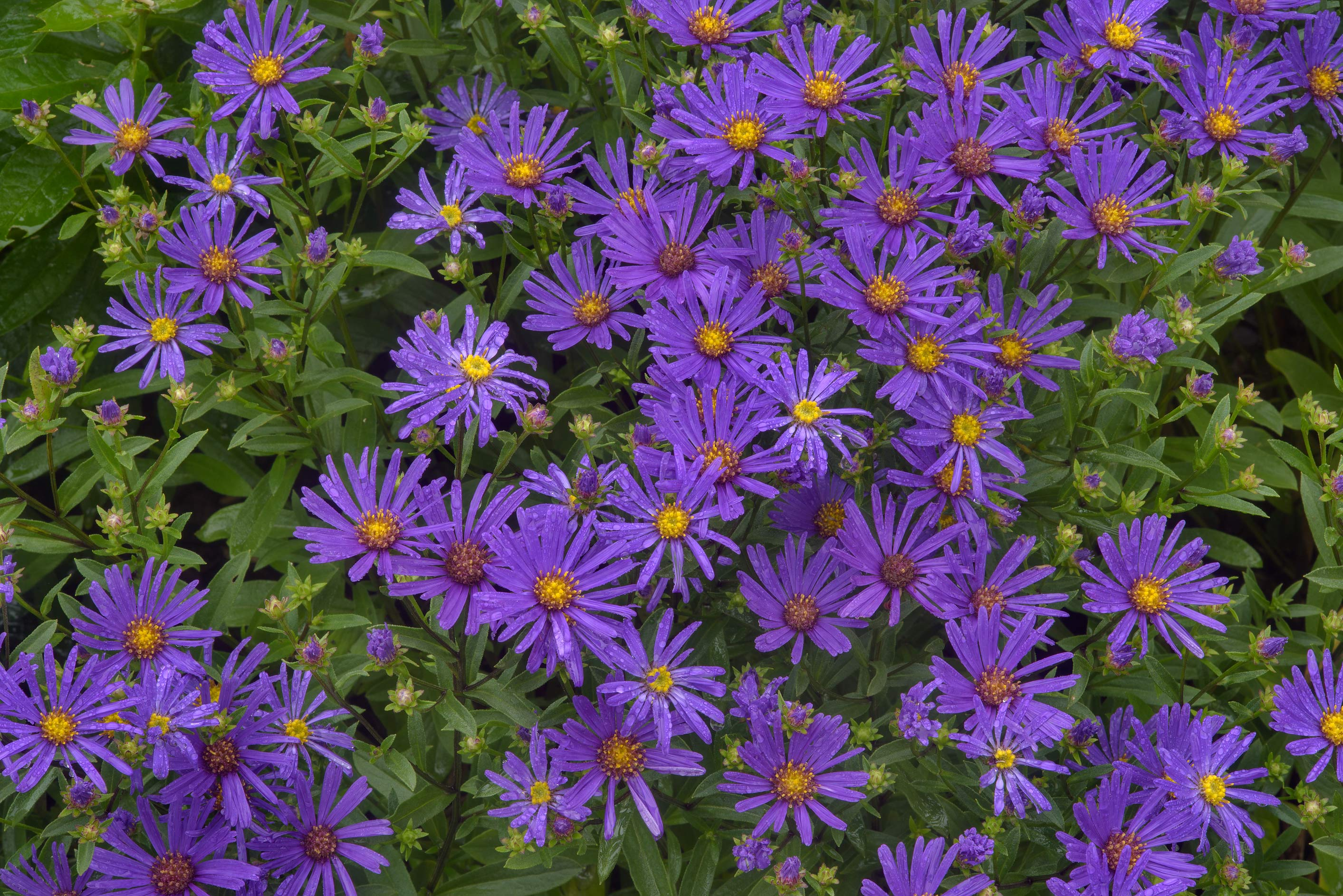 Photo 1903 15 Flowers Of Michaelmas Daisy Aster Amellus