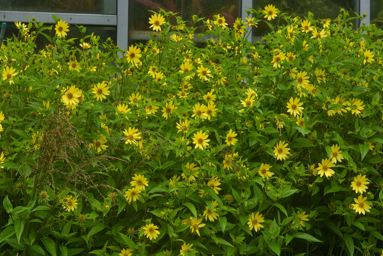 Photo 1903 21 Yellow Aster Flowers In Botanic Gardens Of