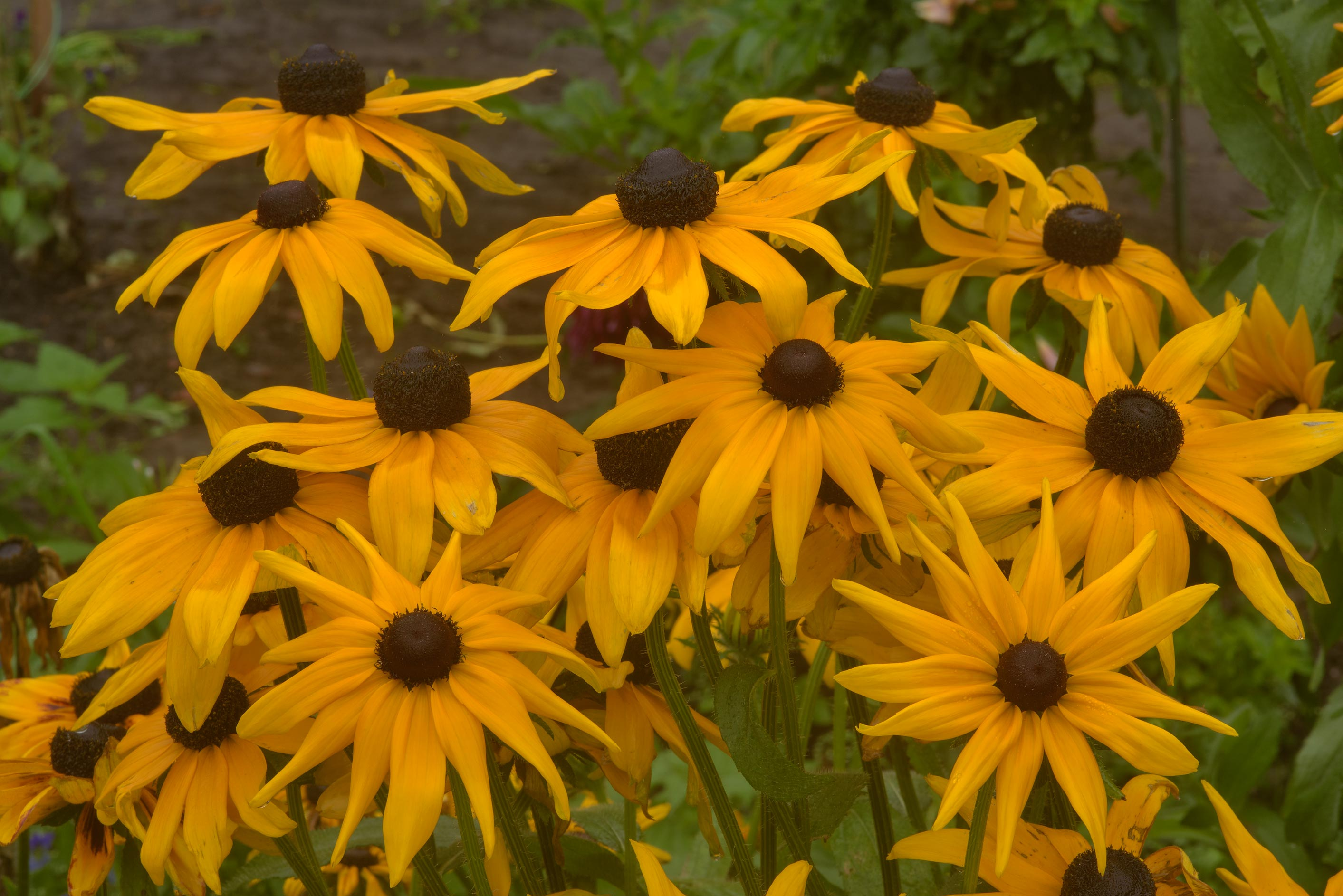 Bunch of orange Rudbeckia flowers in Botanic...Institute. St.Petersburg, Russia