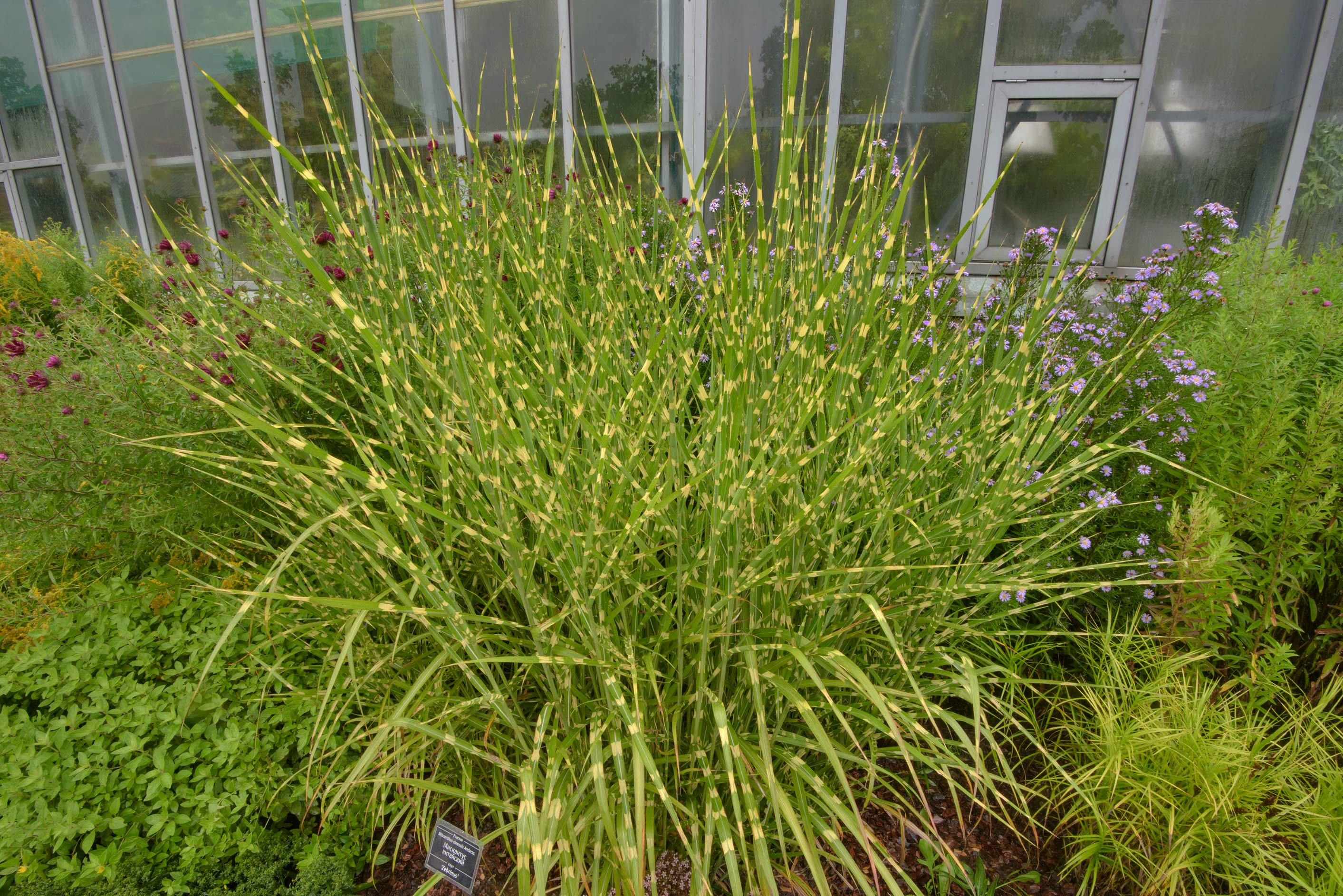 Ornamental grass Miscanthus sinensis 'Zebrinus...Institute. St.Petersburg, Russia