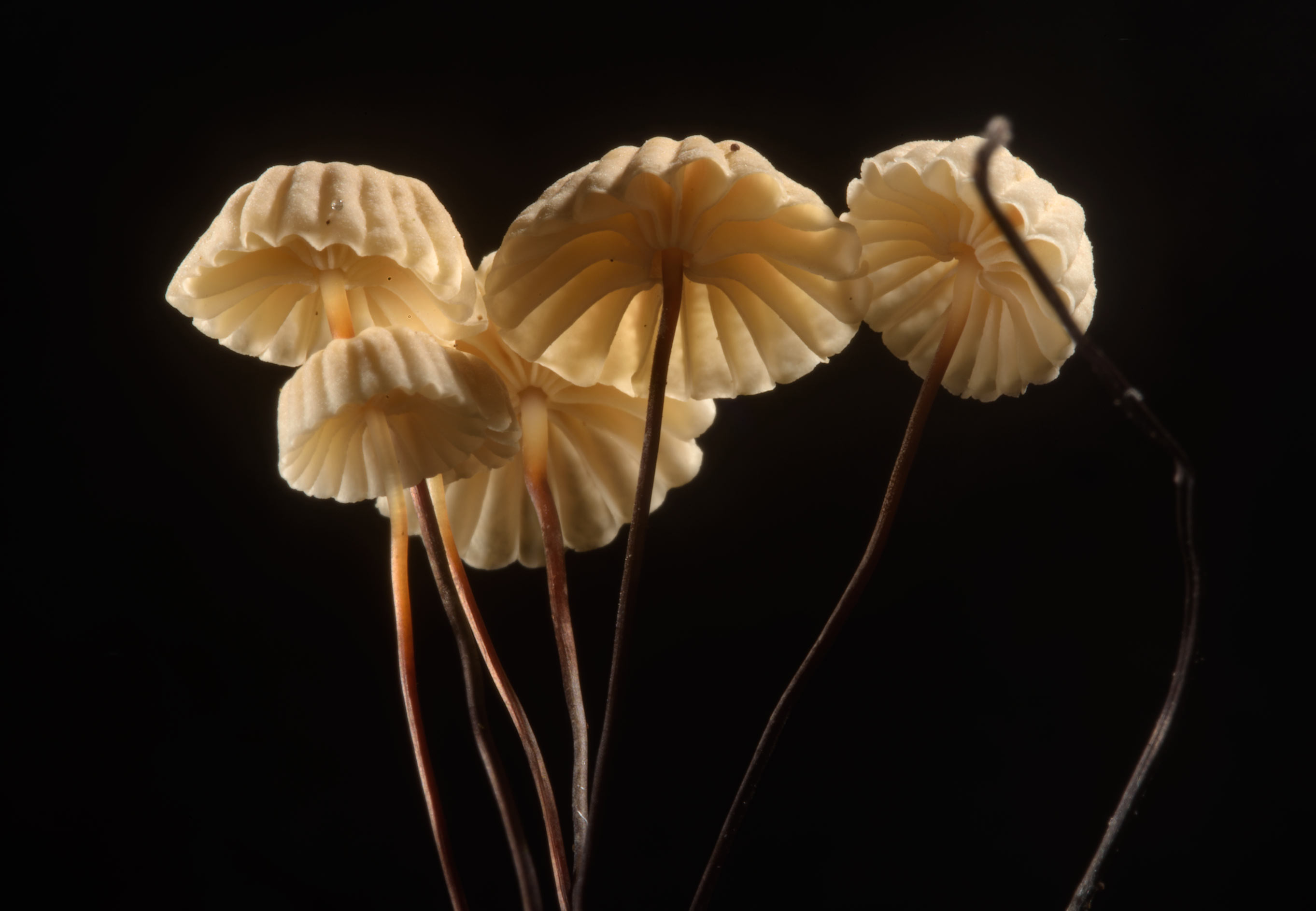 Caps of Pinwheel mushrooms (Marasmius rotula...Nos, west from St.Petersburg. Russia