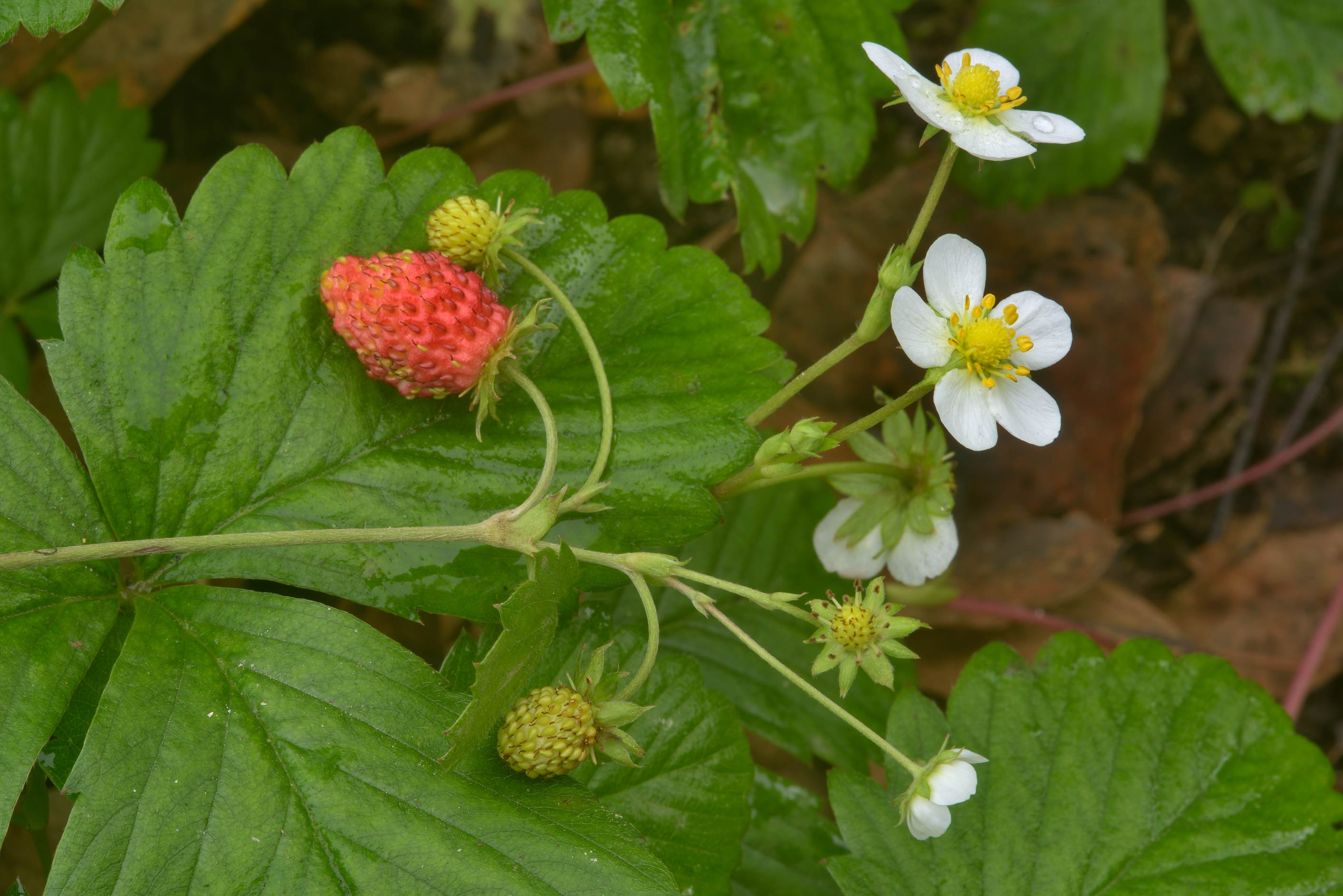 Wild Strawberry (Fragaria, Russian name...Pesochnyi, near St.Petersburg. Russia
