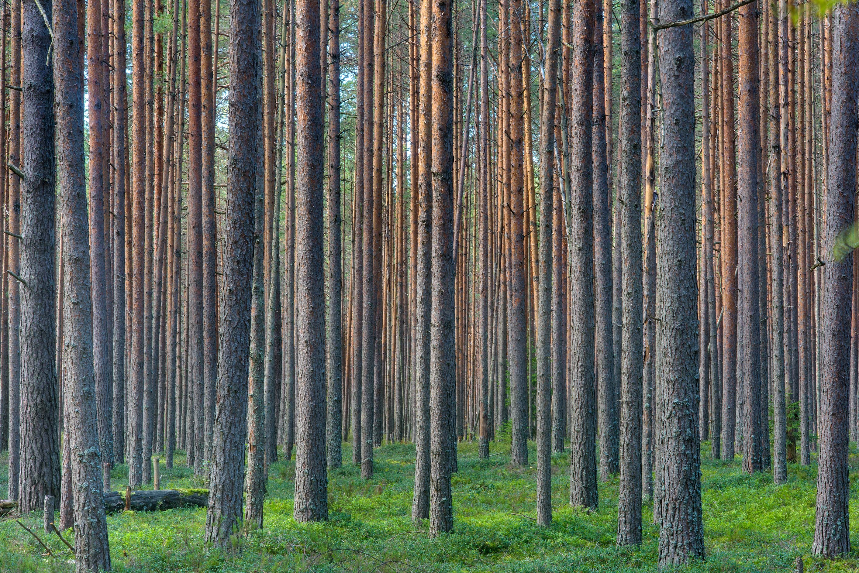 Pure pine forest south-west from Dibuny-Pesochnyi, near St.Petersburg. Russia