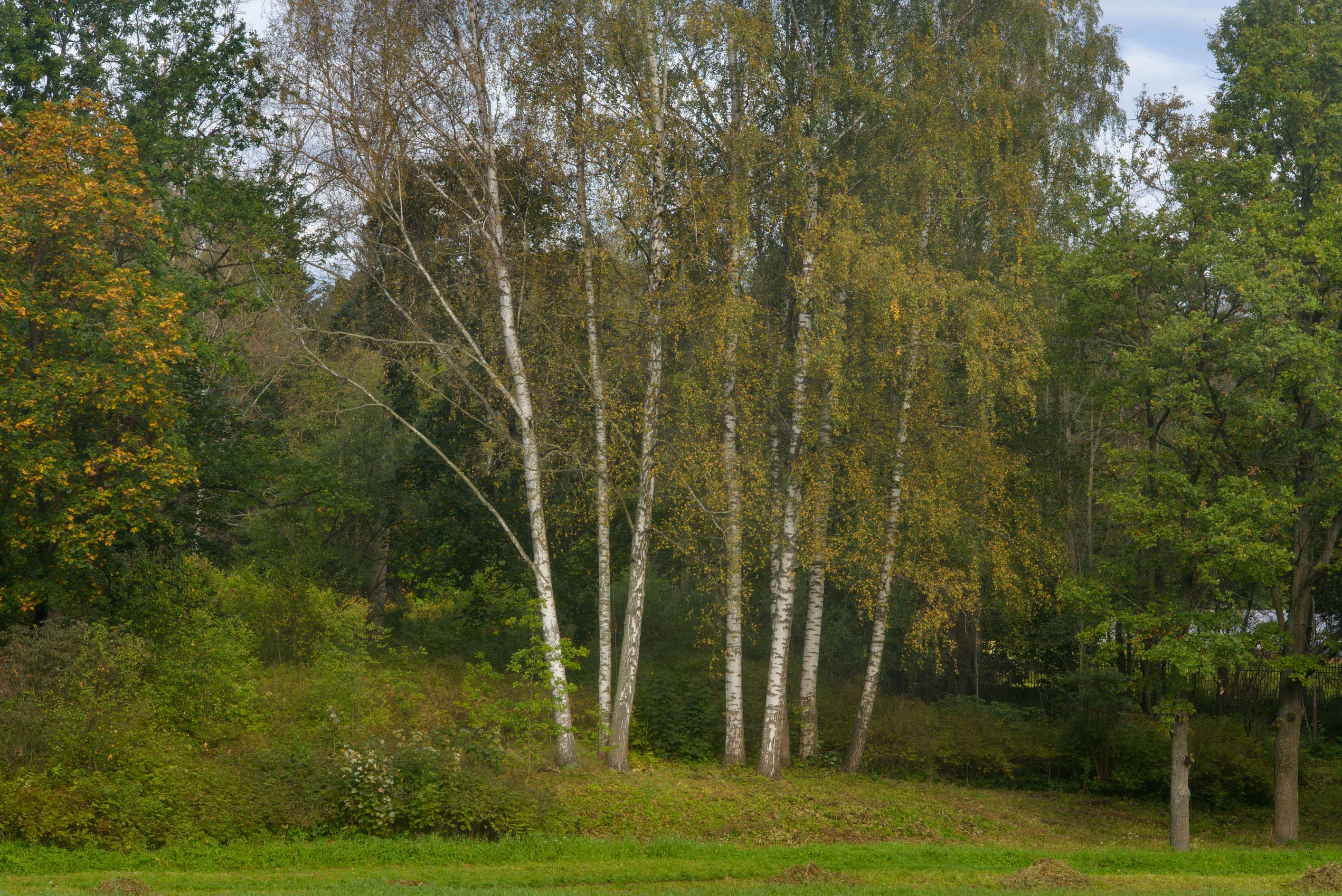 slideshow 190802 birches near slavyanka river in