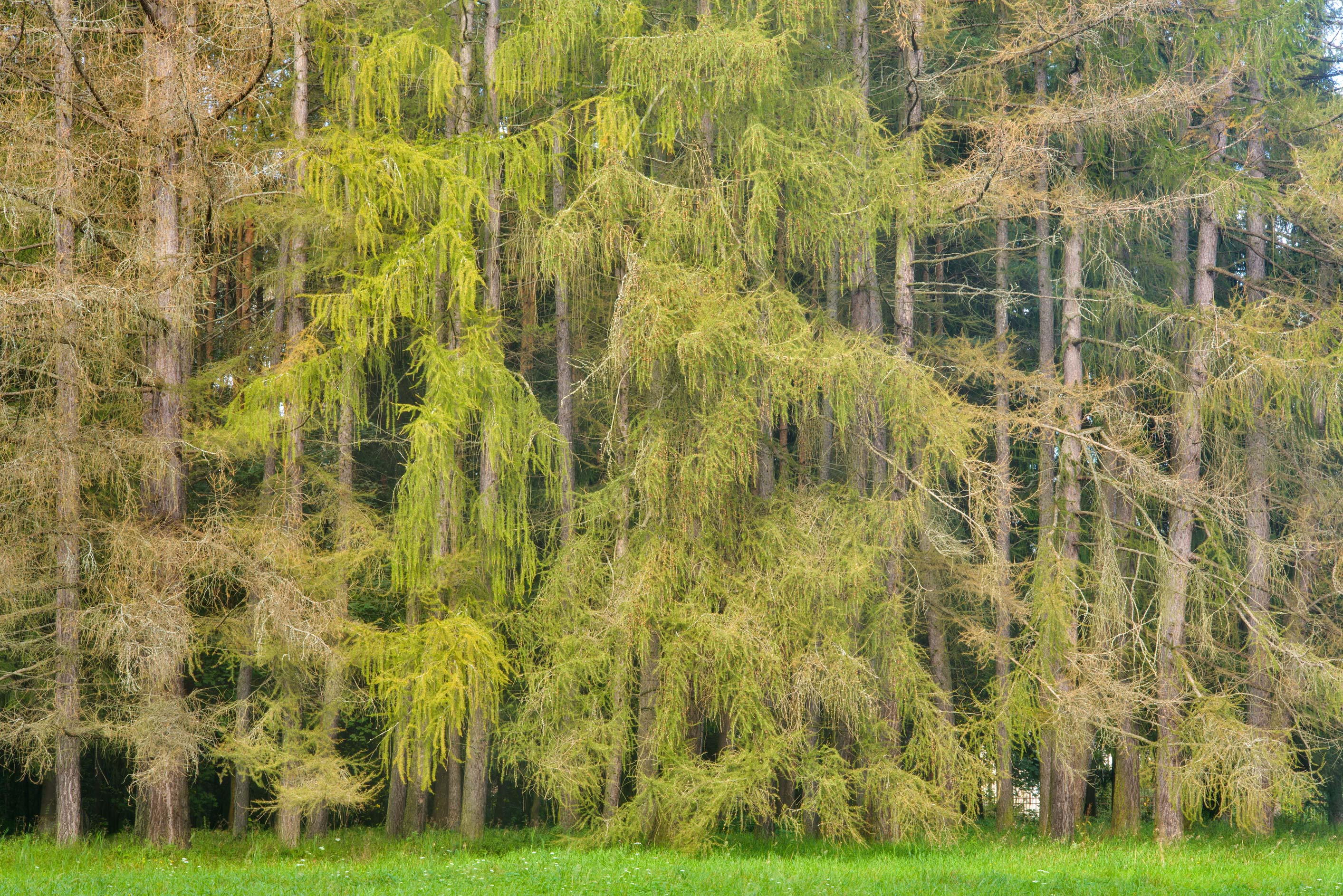 Larch trees near Krasnogo Bugra Alley in Pavlovsk...suburb of St.Petersburg, Russia