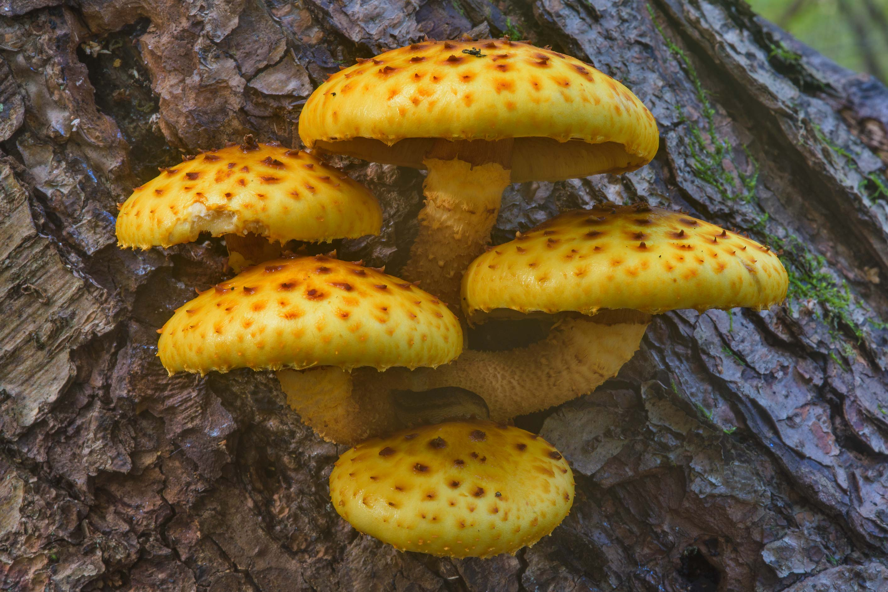 Golden scalycap mushrooms (Pholiota aurivella...Nos, west from St.Petersburg. Russia