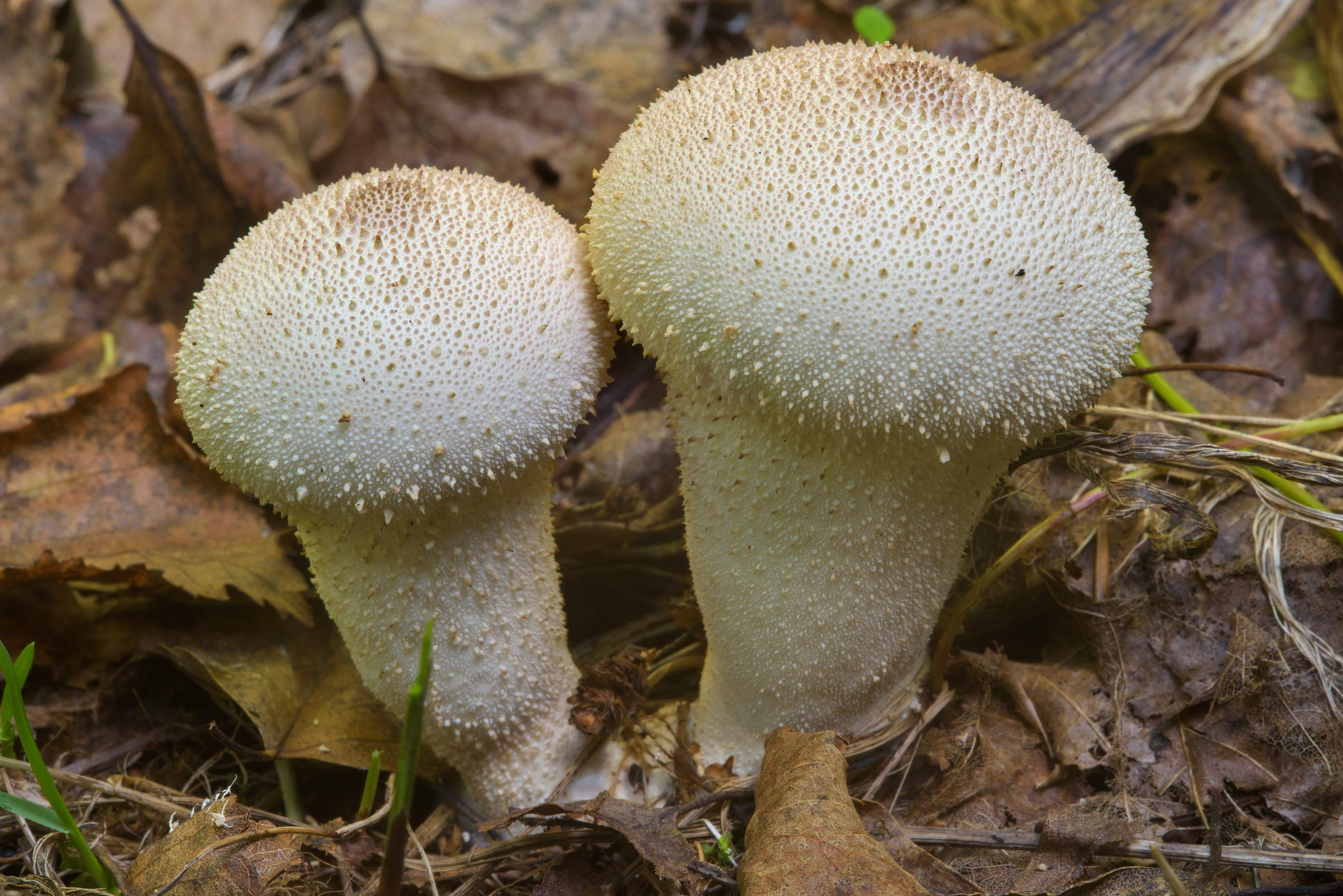 Spiked puffball mushrooms (Lycoperdon perlatum...Nos, west from St.Petersburg. Russia