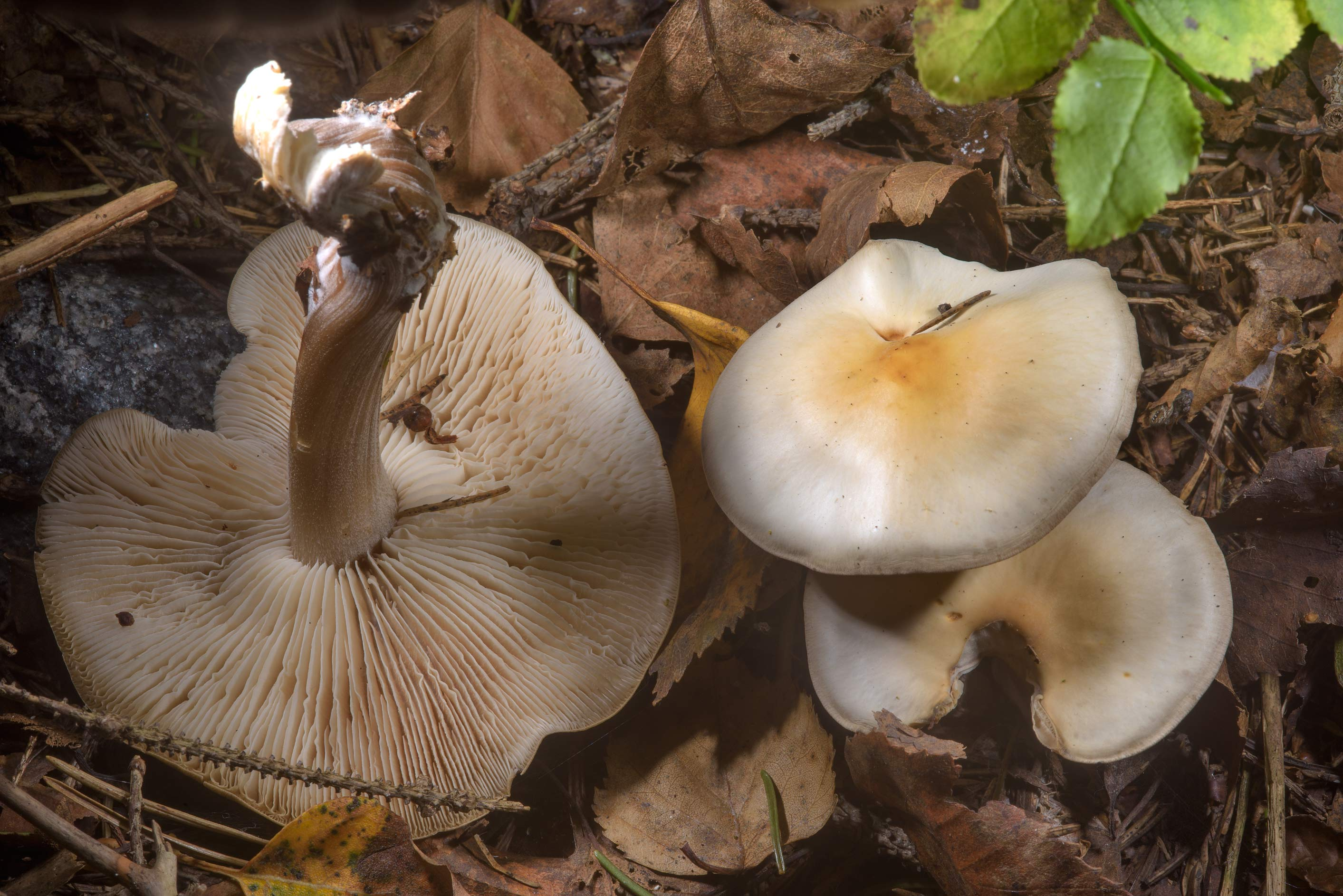 Some whitish gilled mushrooms on roadside in...north-west from St.Petersburg. Russia