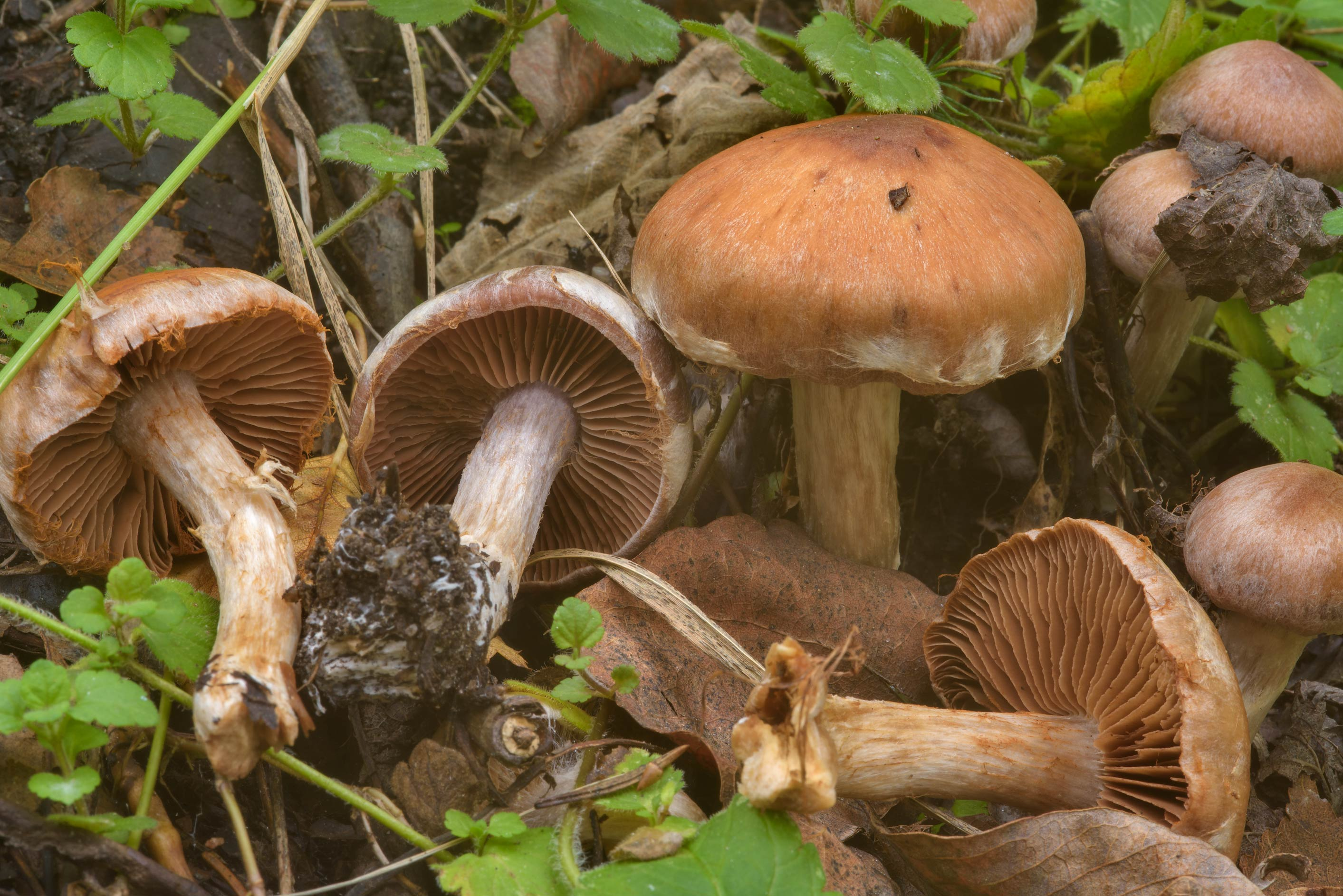 Some brown webcap mushrooms (Cortinarius sp.) on...Lake. North from St.Petersburg, Russia