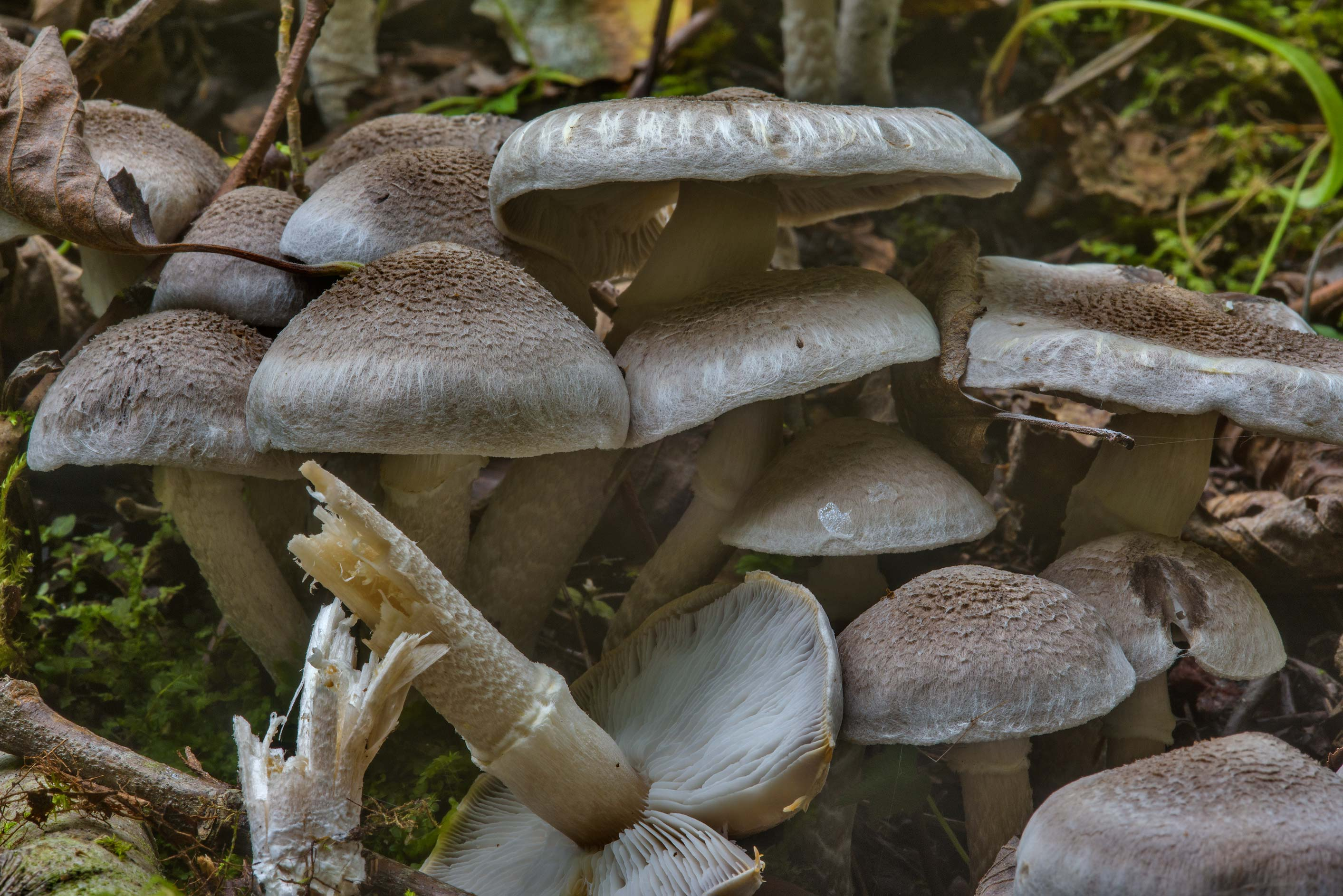 Masses of girdled knight mushrooms (Tricholoma...Lake. North from St.Petersburg, Russia