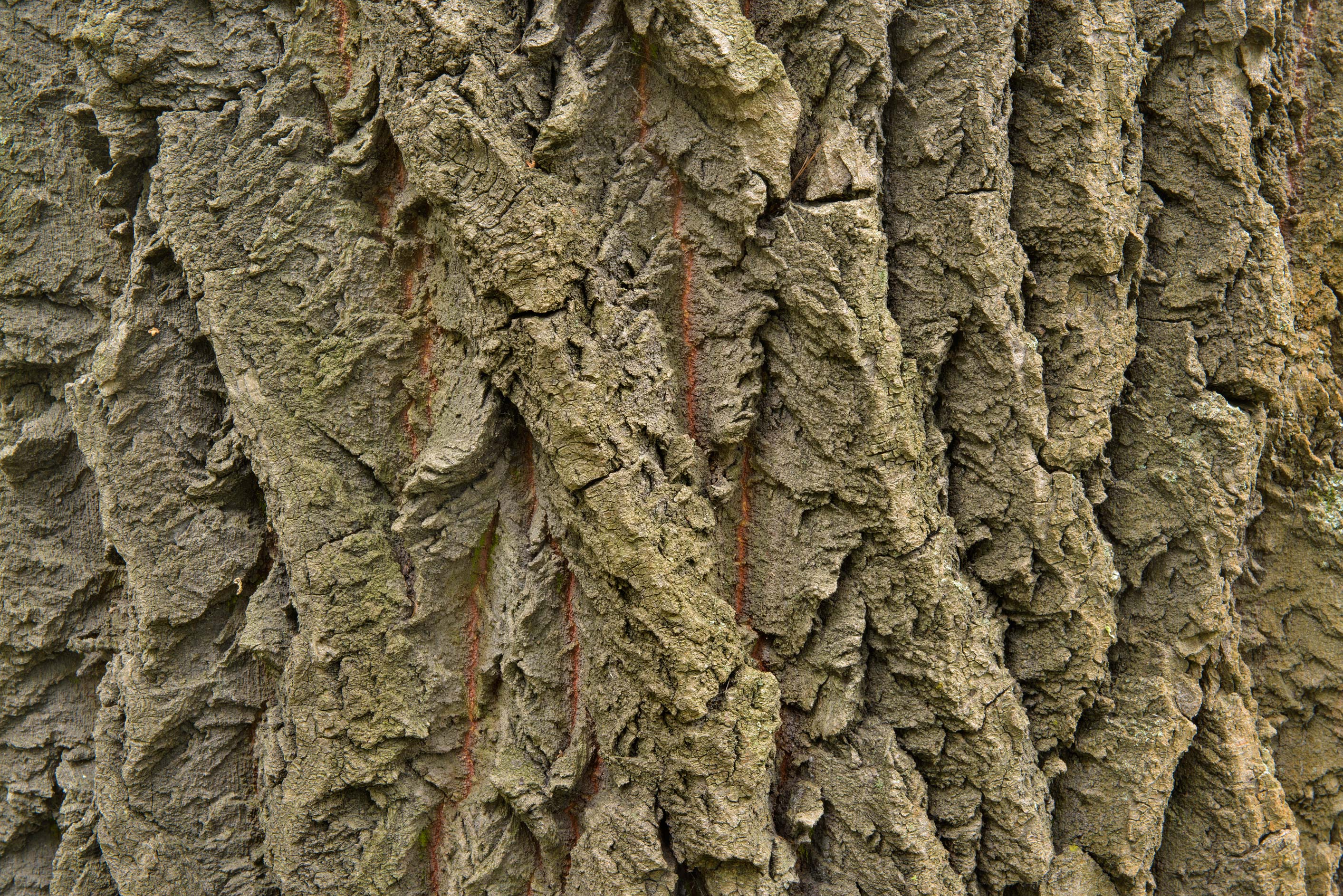 Tree bark in Lesnoy Park. St.Petersburg, Russia