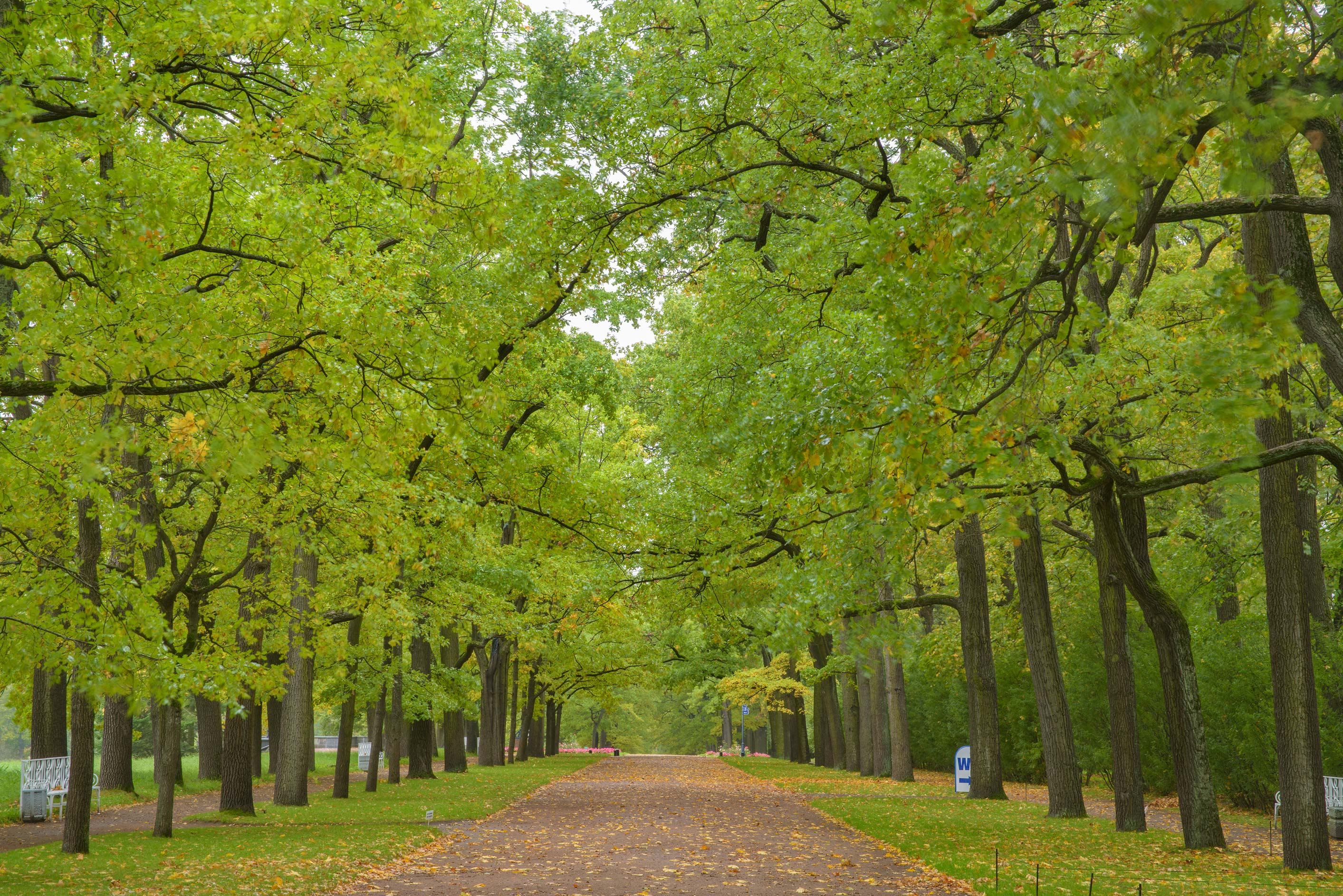 Oak alley in Catherine Park. Pushkin (former Tsarskoe Selo) near St.Petersburg, Russia