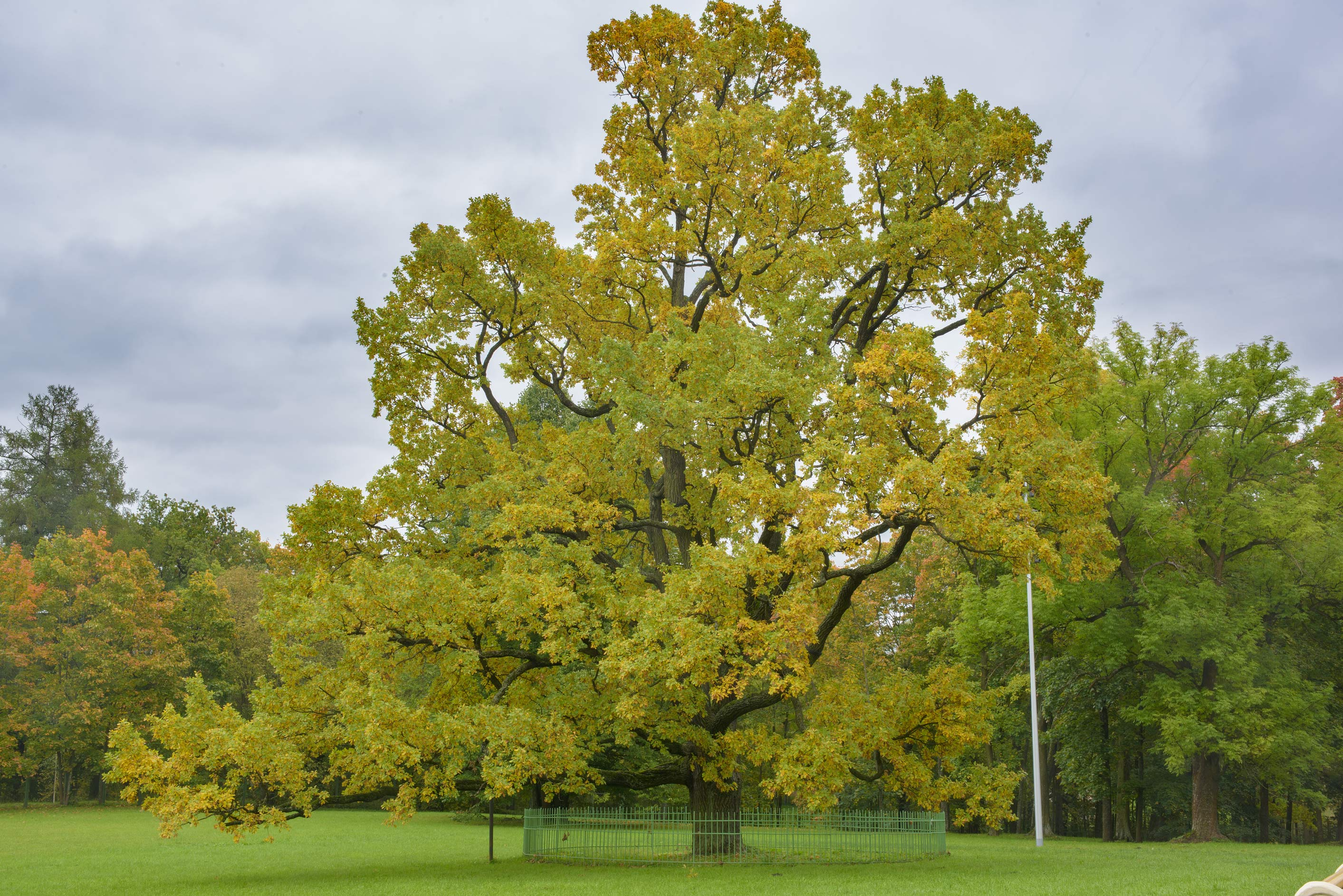 Solitary oak in Gatchina Park. Gatchina, a suburb of St.Petersburg, Russia