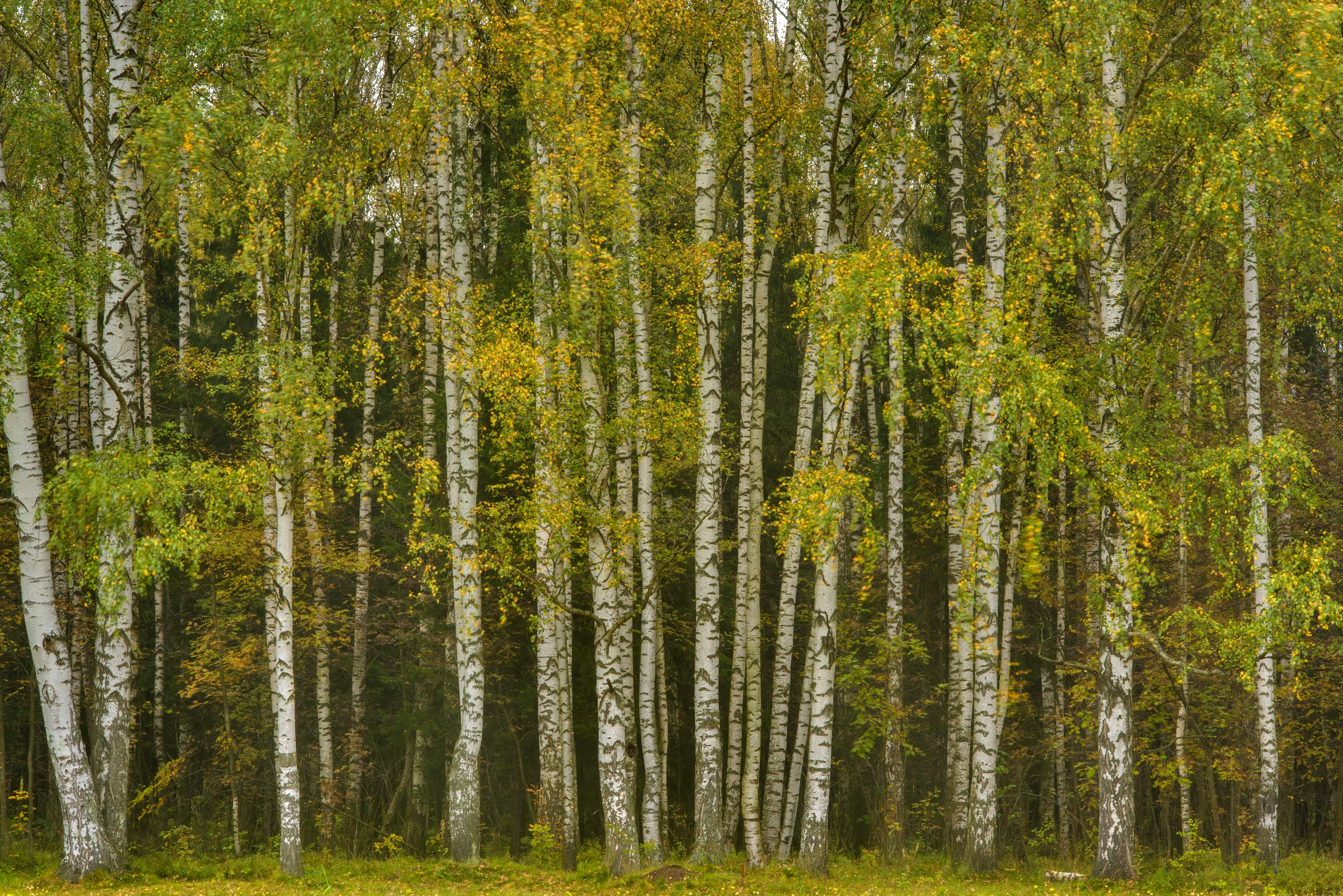 Birches near Krasnogo Bugra Alley in Pavlovsk...a suburb of St.Petersburg, Russia