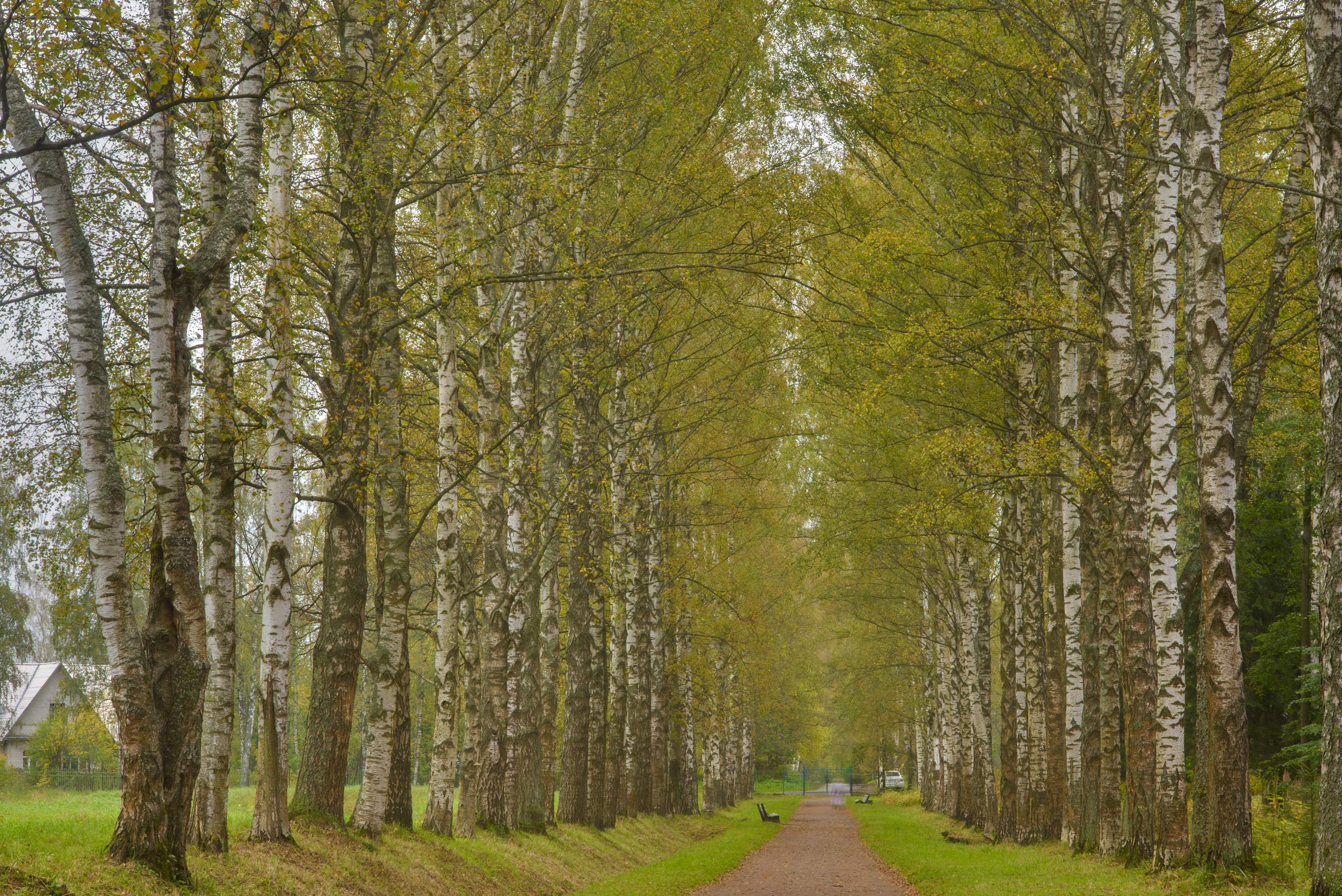 Krasnogo Bugra Alley with birch trees in Pavlovsk...a suburb of St.Petersburg, Russia
