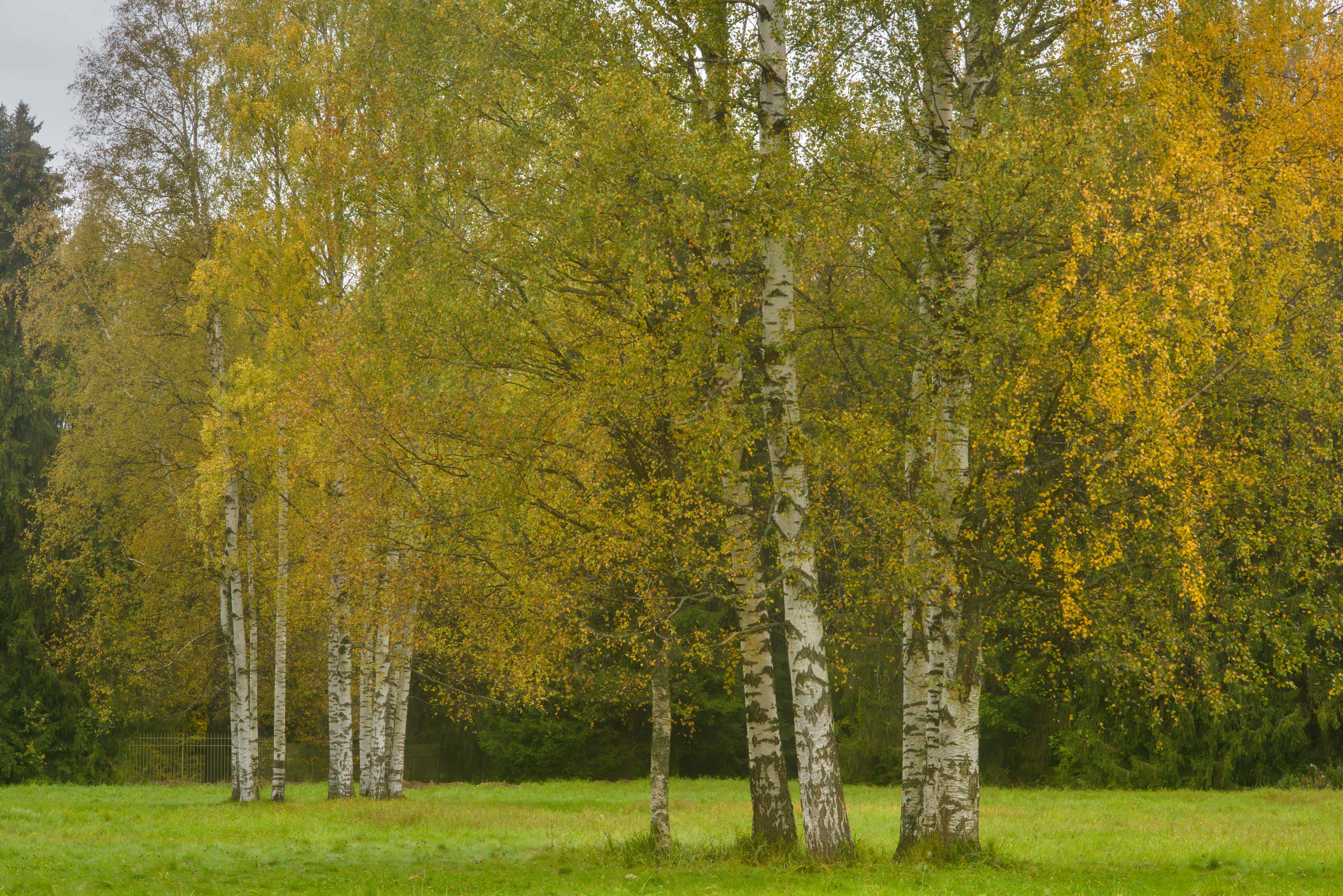 Birch groves in area of New Sylvia in Pavlovsk...a suburb of St.Petersburg, Russia