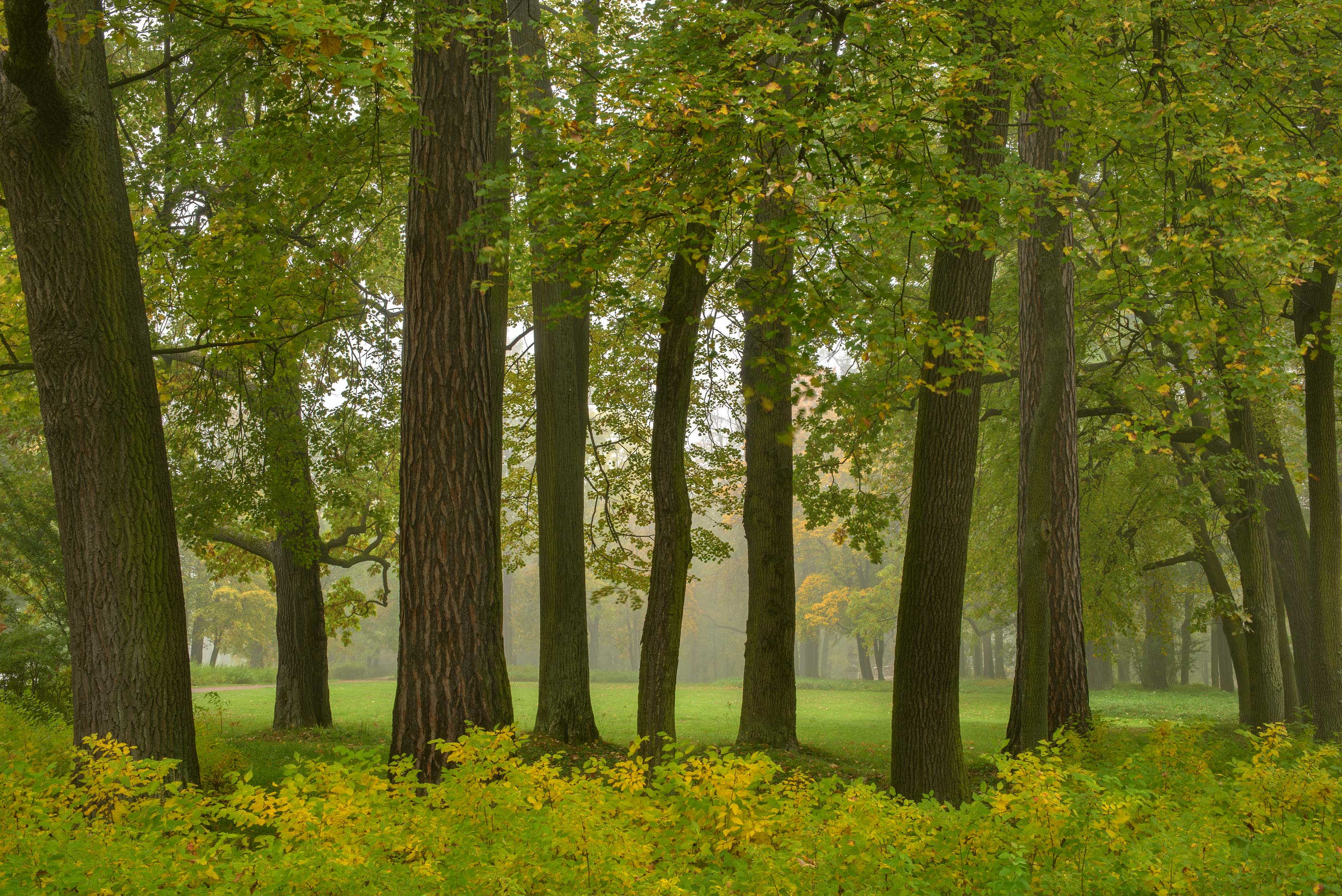 Linden trees in Alexandria Park. Peterhof, a suburb of St.Petersburg, Russia