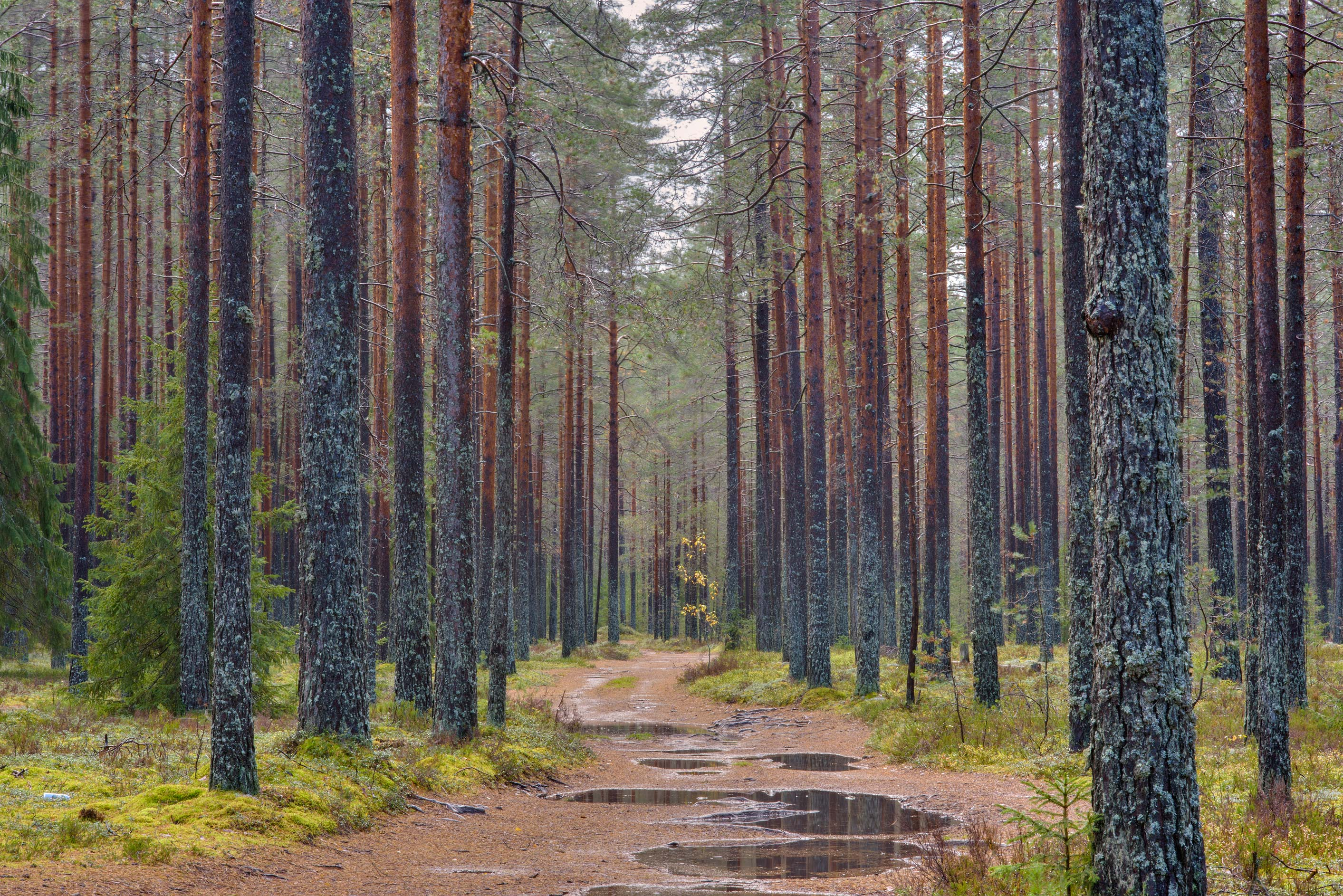 Pine forest at rain near Pervomayskoe, Vyborg Region. Russia